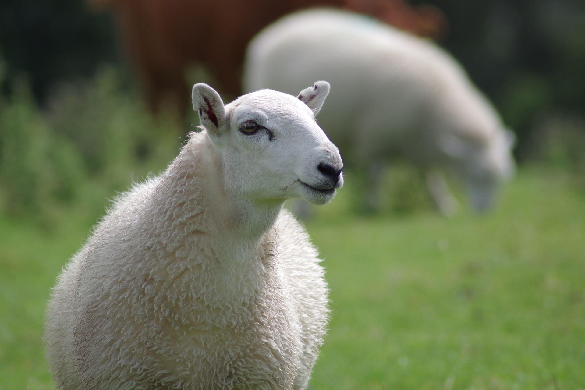 Owca domowa Źródło: Owca domowa, licencja: CC 0.