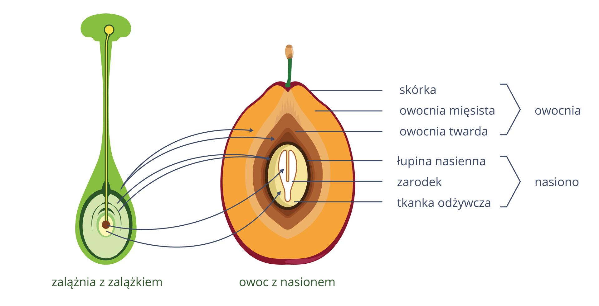 Ilustracja przedstawia po lewej zielono szarą zalążnię, po prawej żółto brązowy owoc. Na zalążni ugóry leży żółte ziarno pyłku, wrastające wgłąb. Odpowiadające sobie części połączono strzałkami. Opisy zboku.