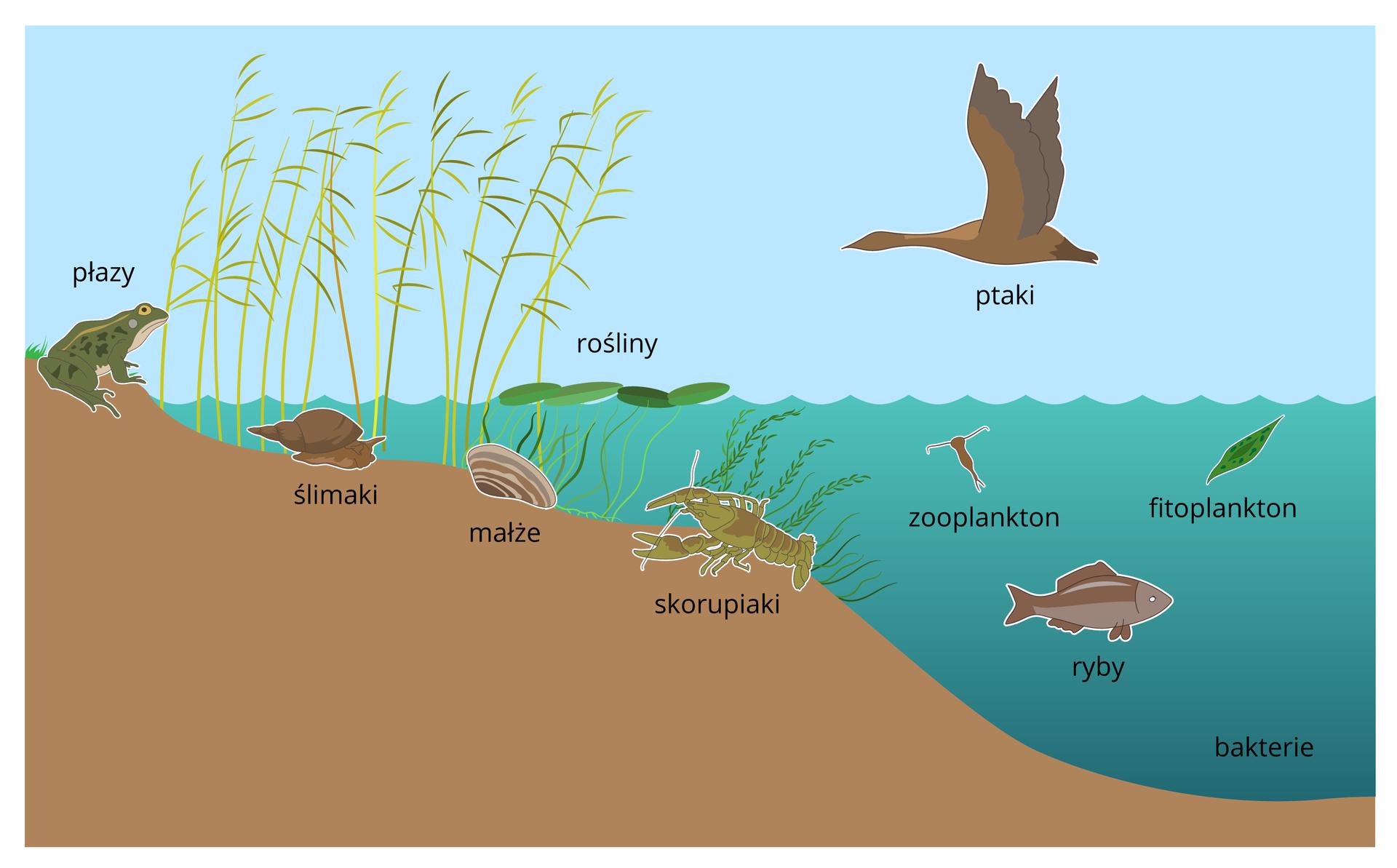 Ilustracja przedstawia przekrój prezz przybrzeżna część jesiora. Narysowano na nim żabę, błotniarkę, małża, plankton, ryby, skorupiaki. Nad wodą leci kaczka. przy brzegu rosną rośliny.
