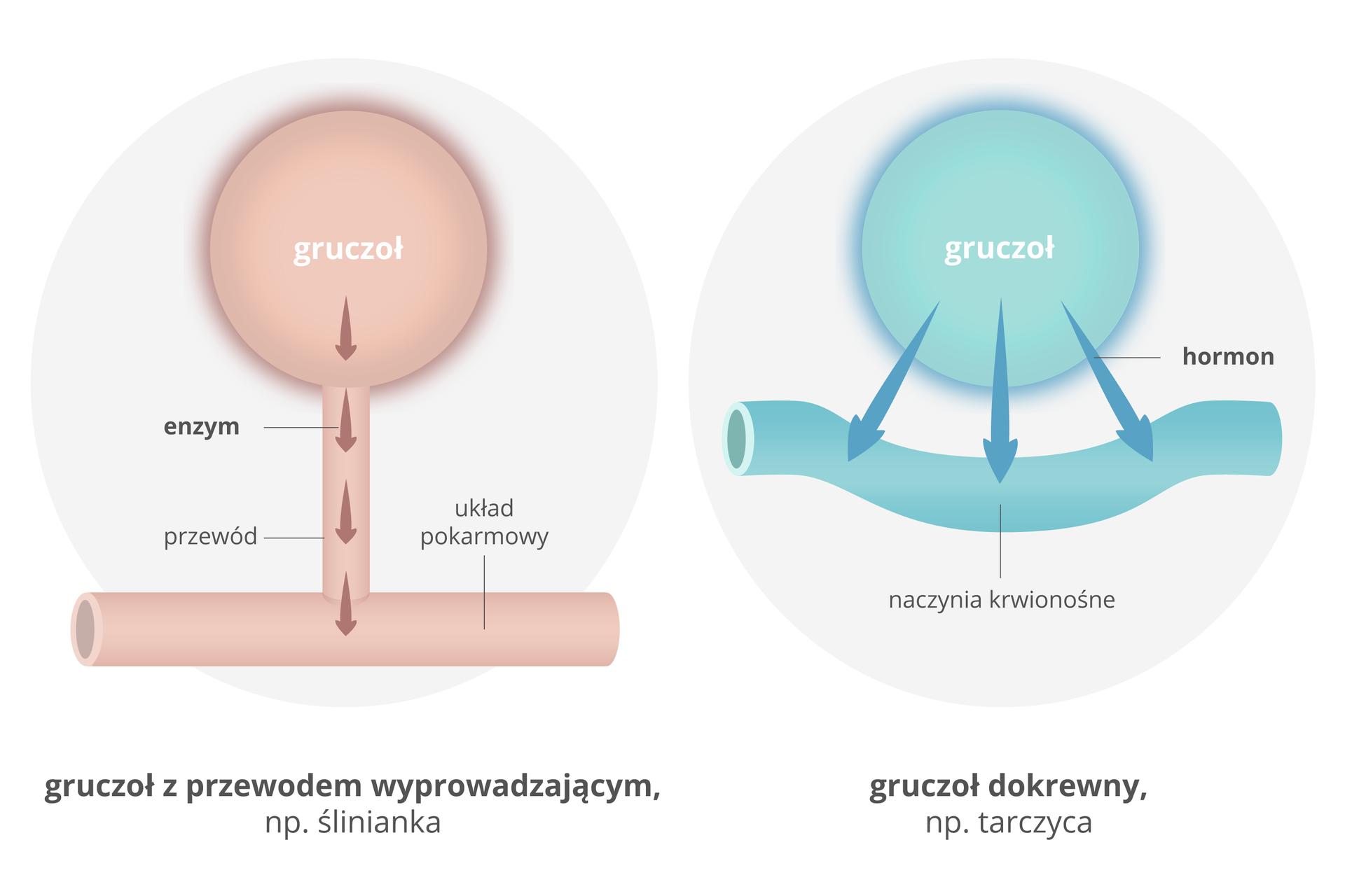 Galeria przedstawia ilustracje przedstawiające działania gruczołów. Ilustracja przedstawia porównanie gruczołu trawiennego iwewnątrzwydzielniczego. Po lewej stronie, na szarym tle, przedstawiono różowy kulisty gruczoł trawienny. Wydziela on enzymy: ciemnoróżowe strzałki biegnące przewodem wdół. Przewód łączy się zpoziomą, różową rurą układu pokarmowego. Taki działający gruczoł to na przykład ślinianka. Po prawej schemat działania gruczołu wewnątrzwydzielniczego. Niebieska kulka na szarym tle to gruczoł. Trzy niebieskie strzałki to hormony. Prowadzą one do wygiętej, niebieskiej rurki naczynia krwionośnego. Taki gruczoł to na przykład tarczyca.