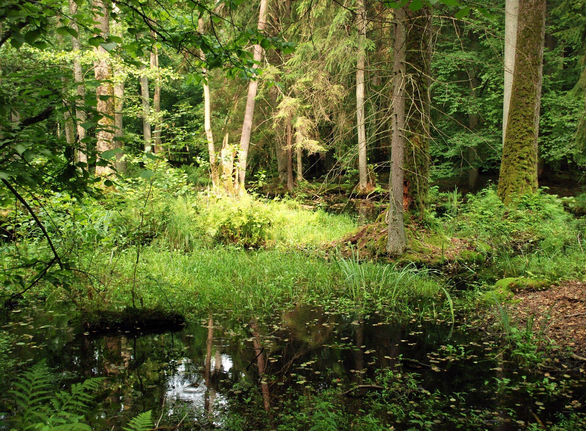 Puszcza Białowieska Puszcza Białowieska Źródło: Jacek Karczmarz, licencja: CC BY 3.0.
