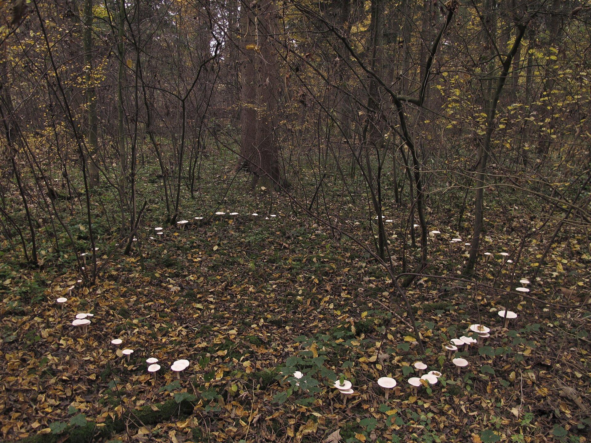 Fotografia przedstawia wnętrze lasu. Rosną tu nieliczne krzewy ocienkich gałązkach iwiększe drzewa. Na dnie lasu, między krzewami rosną białe grzyby wformie okręgu. To tak zwany czarci krąg.