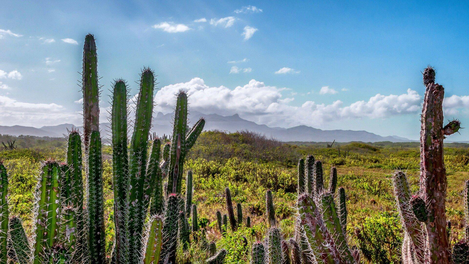 Zdjęcie przedstawia krajobraz stepowy. Na pierwszym planie widoczna jest kępa wysokich kaktusów. Na dalszym planie widać równinę porośniętą niską roślinnością. Woddali, na horyzoncie rysują się szczyty górskie.