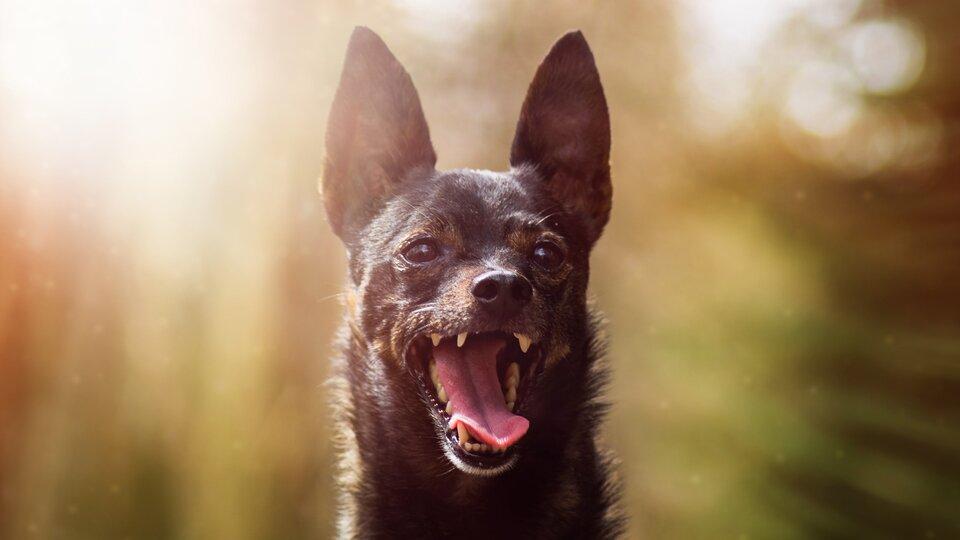 Fotografia przedstawia szczekającego psa.