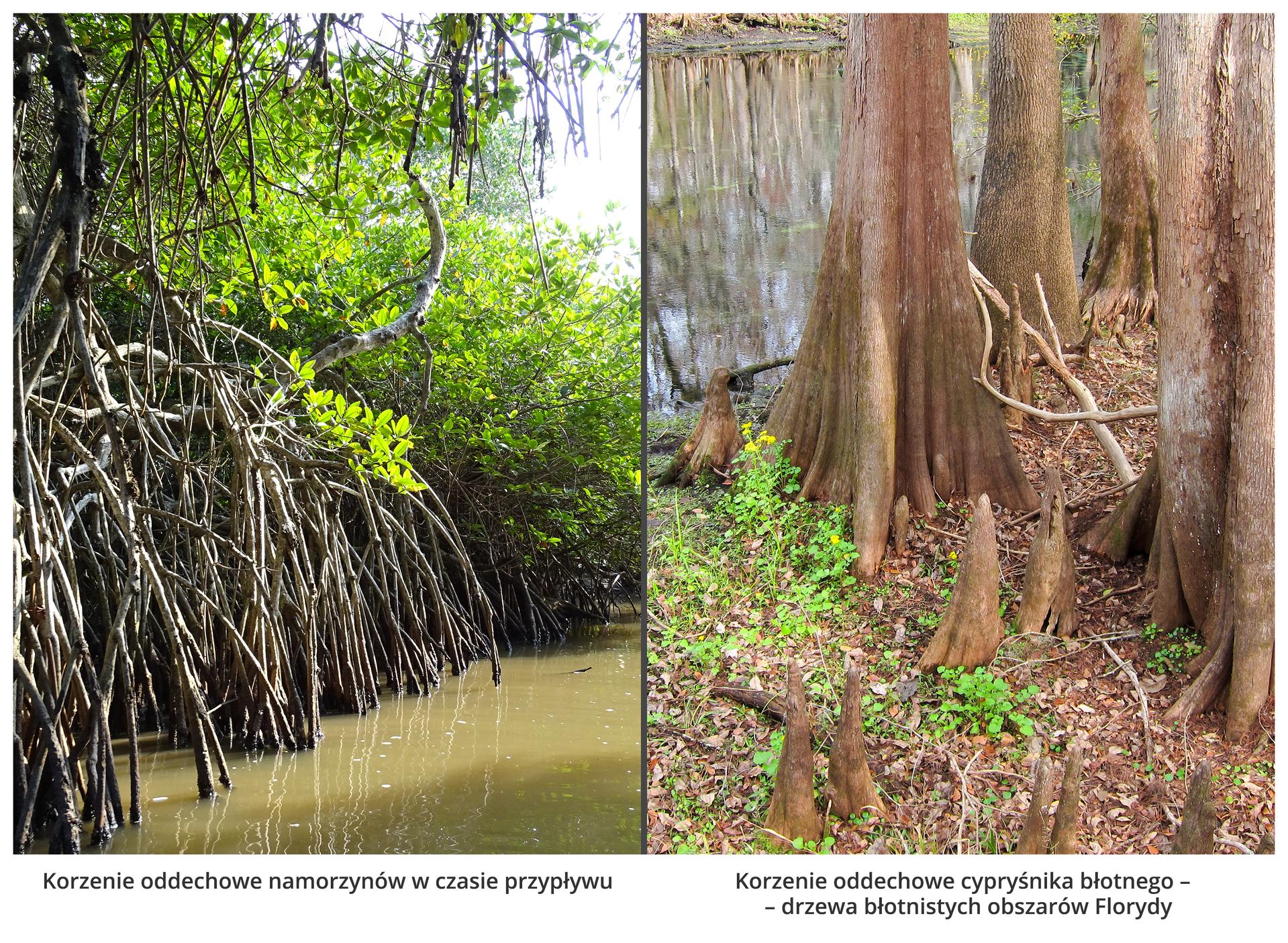 Fotografie przedstawiają korzenie oddechowe. Po lewej są wysokie, cienkie korzenie drzew nad wodą. Wysoko nad nimi znajdują się gałęzie zliśćmi. To namorzyny. Po prawej drzewa ojasnej korze rosną wbłotach Florydy. Ich korzenie rosną do góry, wystając zmokrego podłoża. Między nimi rosną niewielkie, żółto kwitnące rośliny.