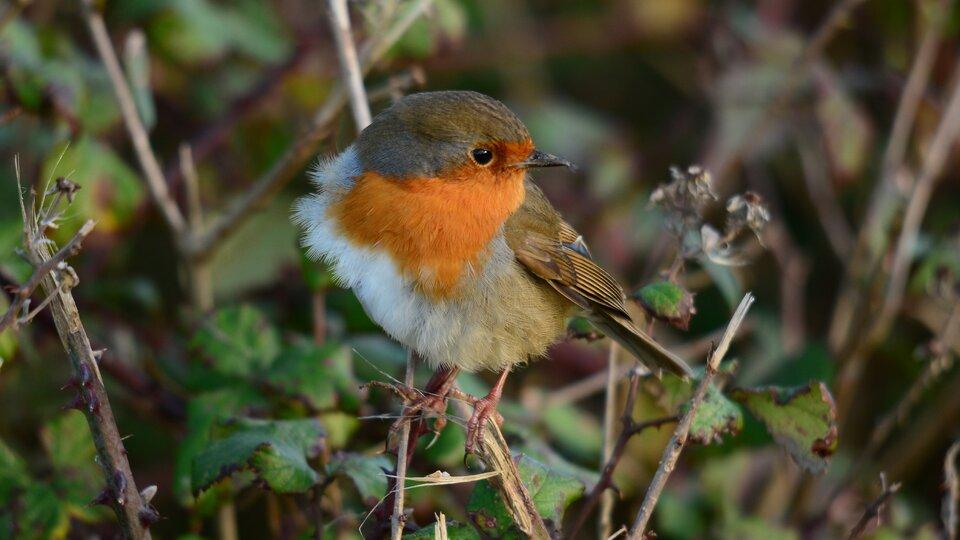 Ilustracja przedstawia szaro-pomarańczowego ptaszka.