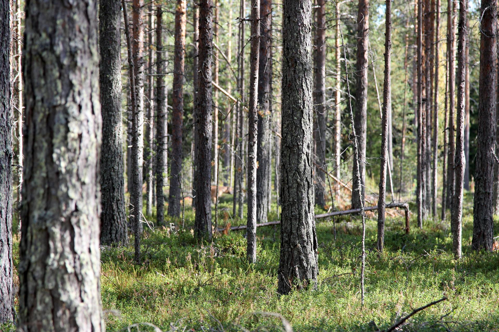 Fotografia zlewej przedstawia wnętrze boru sosnowego. Liczne cieńsze igrubsze pnie drzew, jeden złamany. Między nimi połacie nasłonecznionego runa leśnego.