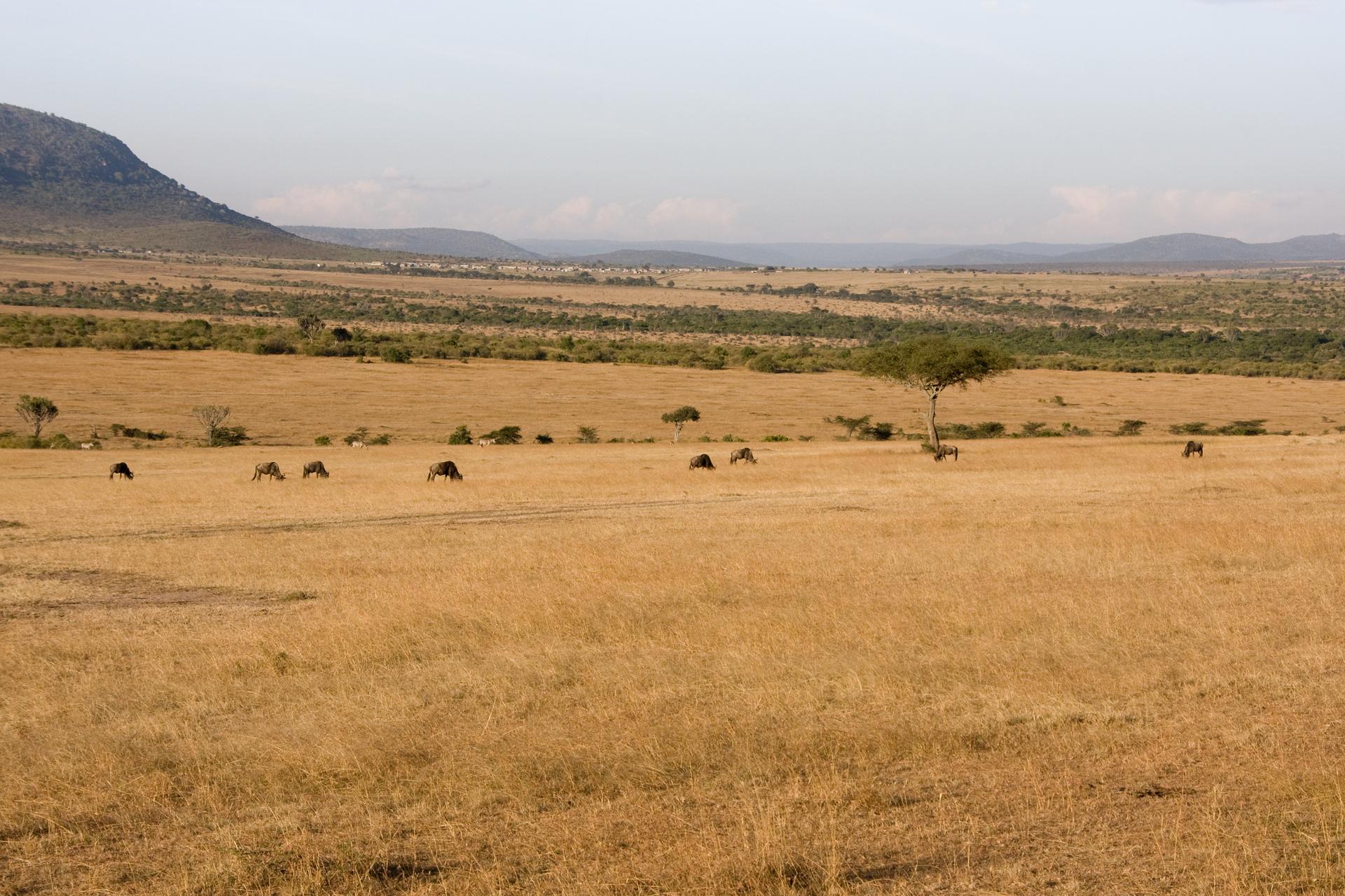 Fotografia przedstawia krajobraz sawanny ze zrudziałą trawą. Za trawiastą równiną wznoszą się góry. Woddali rosną parasolowate drzewa iinne zarośla. Na trawie pasą się zwierzęta kopytne.