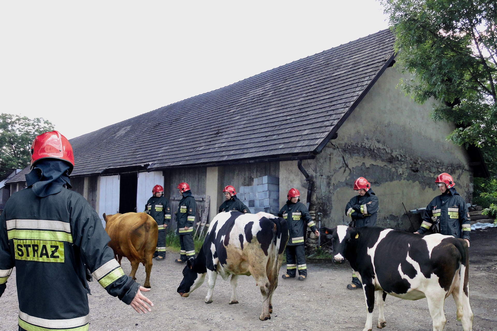 Zdjęcie przedstawia ewakuację zwierząt hodowlanych wzabudowaniach wiejskich. Sześciu strażaków stoi wszeregu wzdłuż podwórka gospodarstwa wiejskiego. Przed strażakami trzy krowy, idą jedna za drugą. Strażacy stoją przodem do ewakuowanych krów. Wlewym dolnym rogu zdjęcia strażak plecami zwrócony do obserwatora.