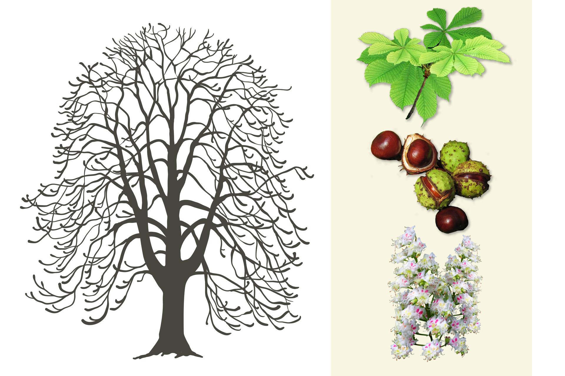 Ilustracja przedstawia szarą sylwetkę kasztanowca. Po prawej ugóry gałązka zjasno zielonymi, dłoniastymi liśćmi. Niżej kilka brązowych kasztanów, wzielonych łupinach ibez nich. Na dole dwa wzniesione kwiatostany kasztanowca zlicznymi biało różowymi kwiatkami.