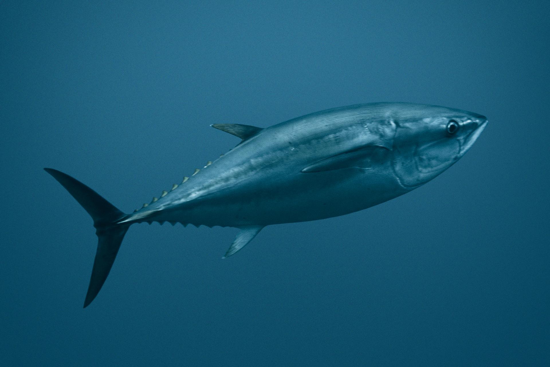 Galeria zawiera fotografie iilustracje, prezentujące różnorodność ryb. Fotografia przedstawia niebiesko srebrzystego tuńczyka wmorskiej toni. Ryba płynie wprawo, lekko ukośnie do góry. Ma smukłe płetwy tułowiowe, kolce na części przy ogonie itrójkątną, wydłużoną płetwę ogonową.