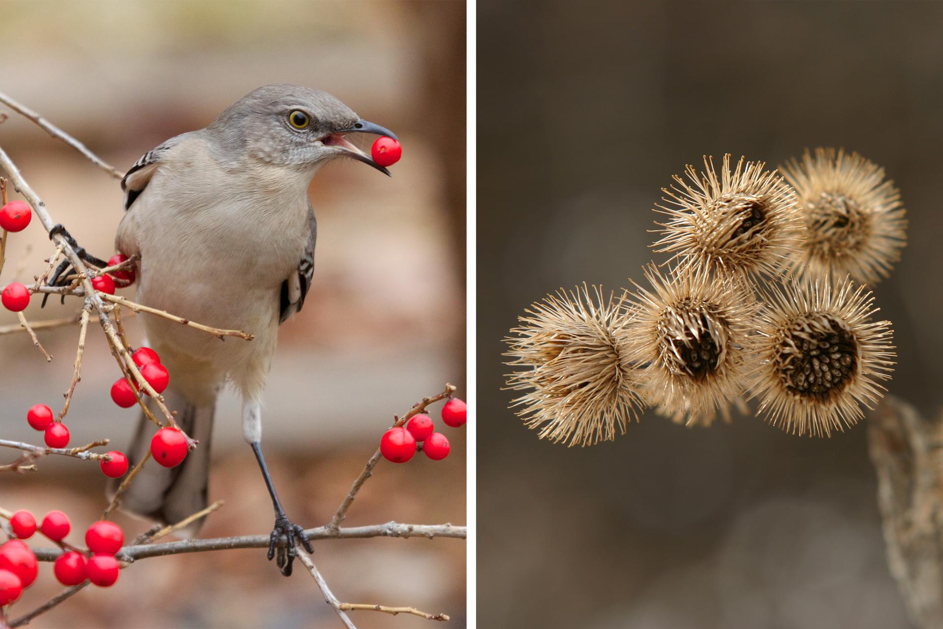 """Fotografie przedstawiają rozsiewnie owoców przez zwierzęta. Zlewej szary ptak zczarnymi nóżkami trzyma wdziobie zerwany zgałązki czerwony owoc. Po prawej zbliżenie koszyczków łopianu, zwanych """"rzepami"""". Mają one liczne beżowe łuski, zakończone haczykami. Przy ich pomocy przyczepiają się do sierści zwierząt."""