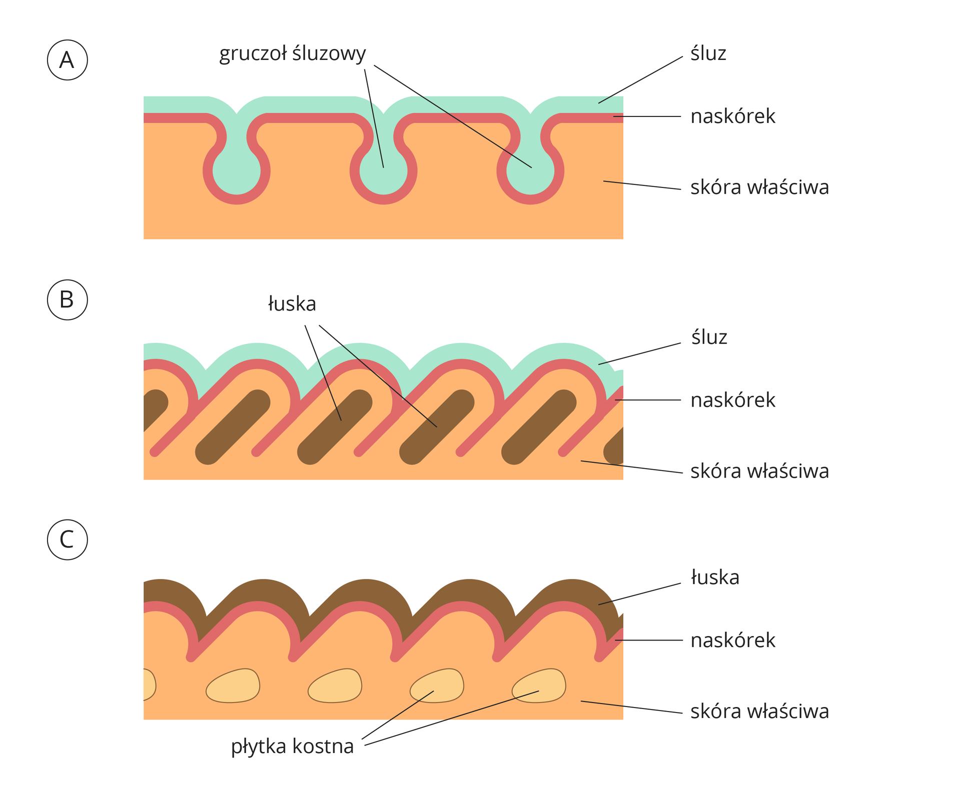 Ilustracja przedstawia trzy rysunki: A, BiC, ułożone jeden pod drugim. Na wszystkich rysunkach te same barwy oznaczają ten sam składnik skóry. Kolor błękitny oznacza śluz, brązowy łuskę, różowy naskórek, pomarańczowy skórę właściwą. Na rysunku Cwskórze jaśniejsze plamy oznaczają płytki kostne.