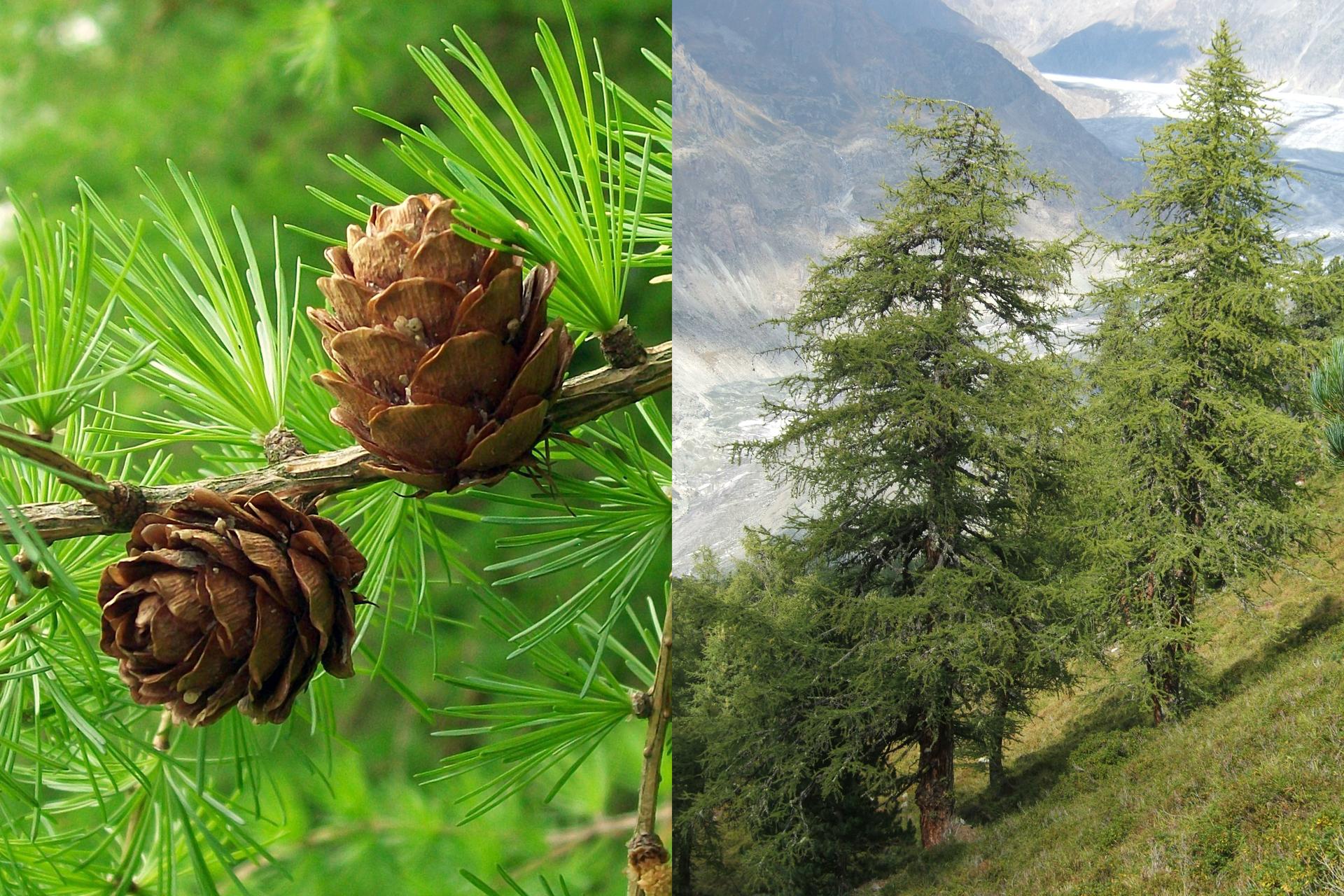 Fotografia zlewej przedstawia gałąź modrzewia europejskiego zkrótkimi igłami wpęczkach. Na gałęzi stoją dwie małe, okrągłe brązowe szyszki. Po prawej fotografia przedstawia dwa duże drzewa na tle górskiego krajobrazu.