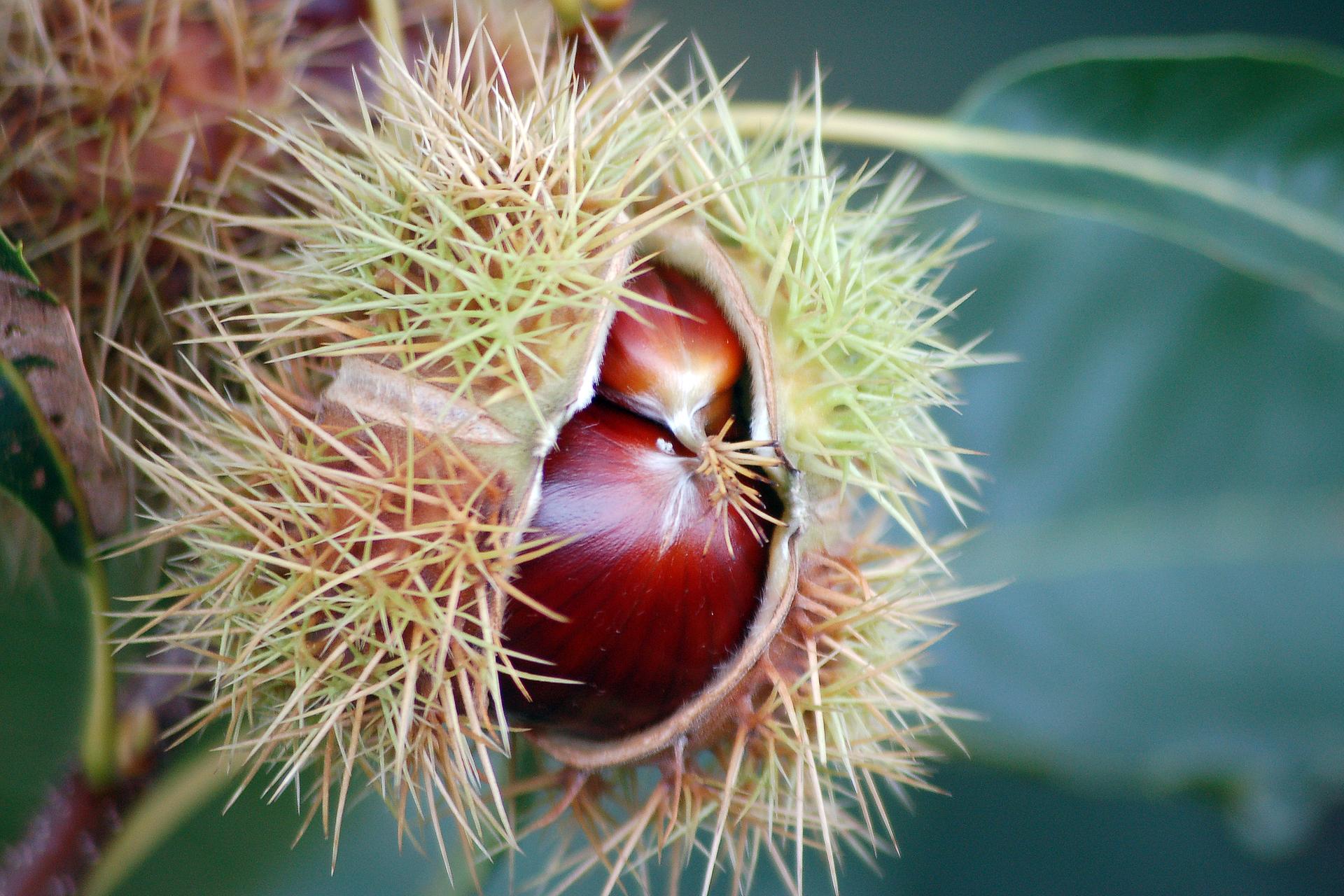 Fotografia przedstawia wzbliżeniu brązowe owoce kasztana jadalnego. Są okryte łupiną zlicznymi, białymi, długimi kolcami.