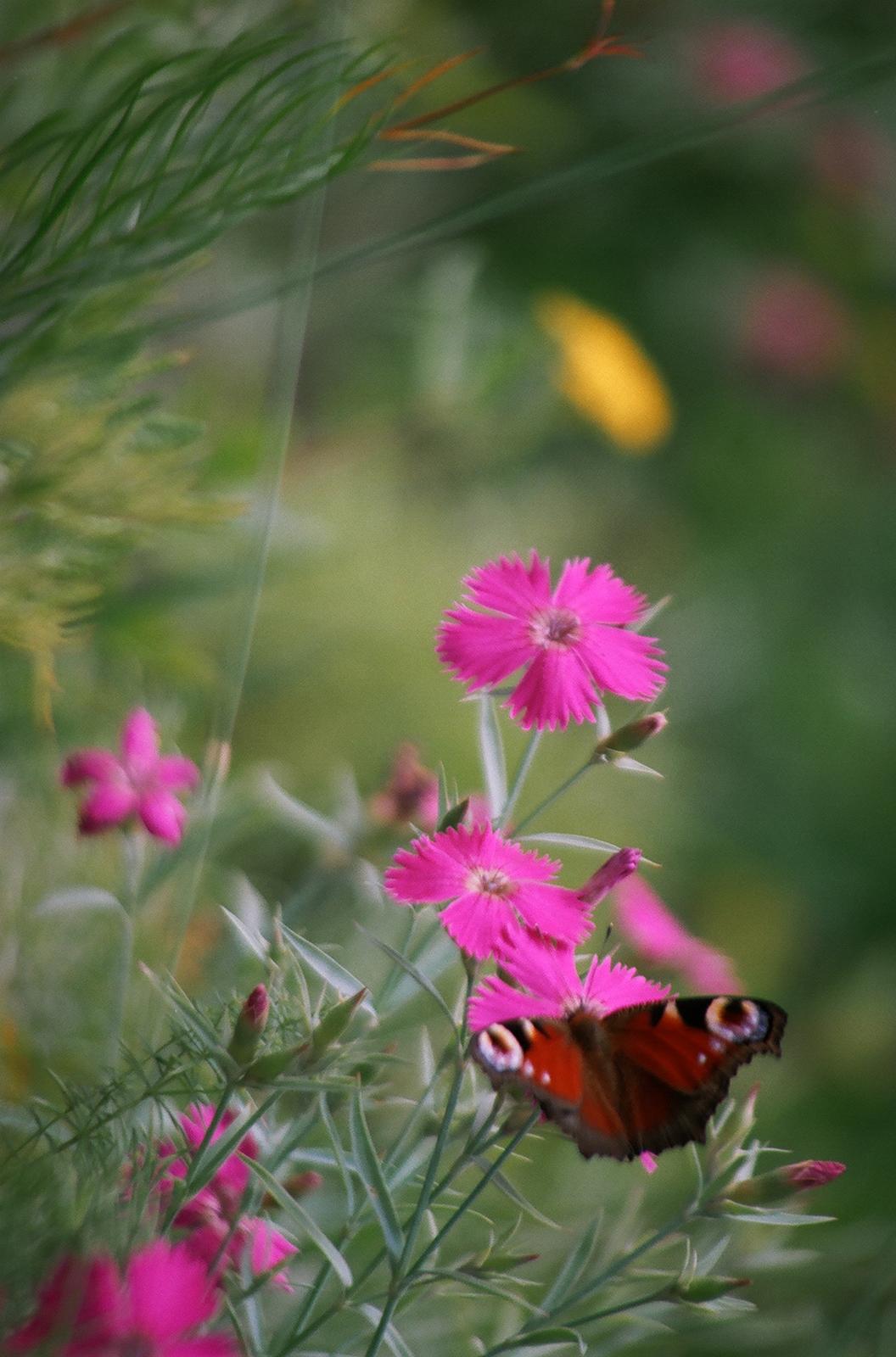 Fotografia przedstawia zbliżenie kilku różowych poczwórnych kwiatków na szarozielonych łodyżkach. To goździki lśniące. Wprawym dolnym rogu na jednym znich siedzi motyl rusałka pawik.