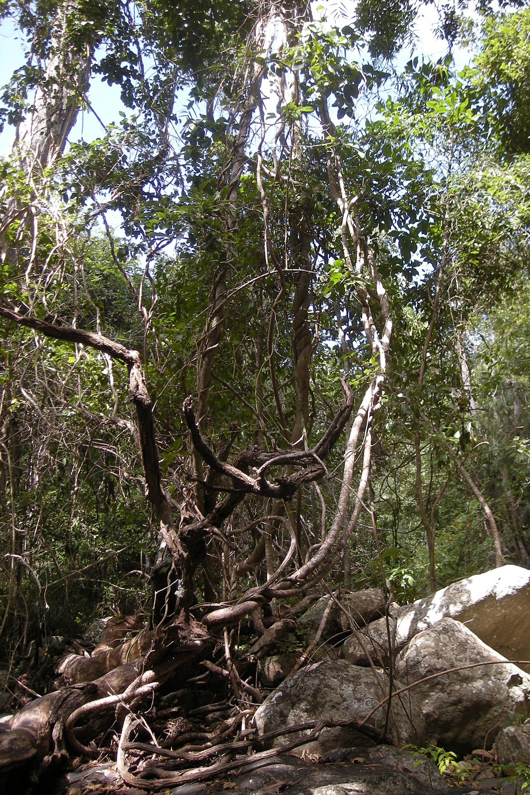 Fotografia przedstawia wnętrze tropikalnego lasu. Na pierwszym planie mocno powyginane, jasno brązowe pędy lian. Liany owijają się wokół pni drzew. Podłoże to skały ikamienie.