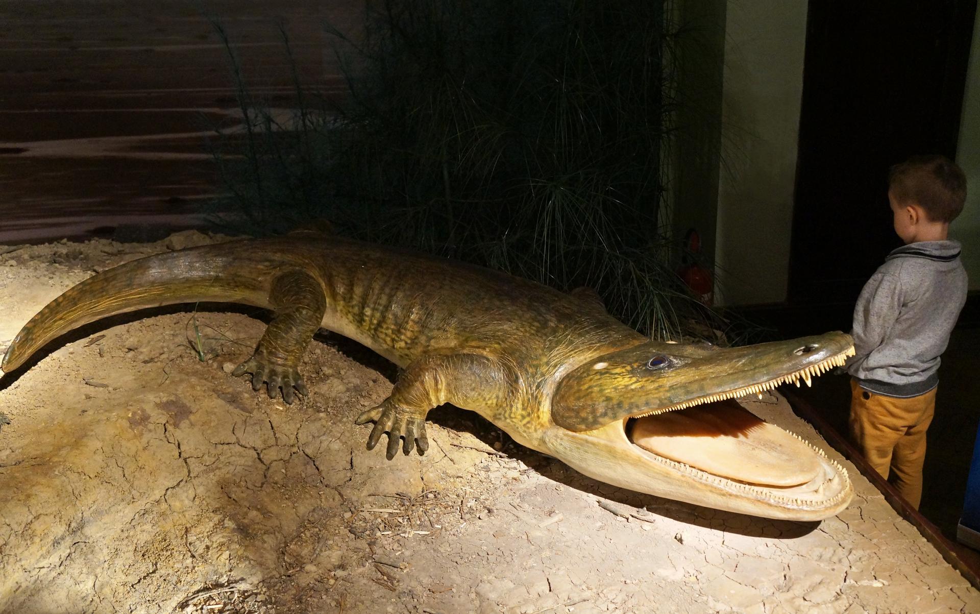 Fotografia przedstawia wnętrze Muzeum Ewolucji wWarszawie. Wgablocie na spękanej ziemi umieszczono figurę wymarłego płaza zKrasiejowa, cyklotozaura. Stoi zotwartą paszczą wprawo, wewnątrz różowy płaski język. Obok chłopiec dla porównania wielkości. Tułów jasnobrązowy, wydłużony, oparty na krótkich łapach zpięcioma palcami bez błony pławnej. Ogon średnio długi, lekko bocznie spłaszczony, ostro zakończony.