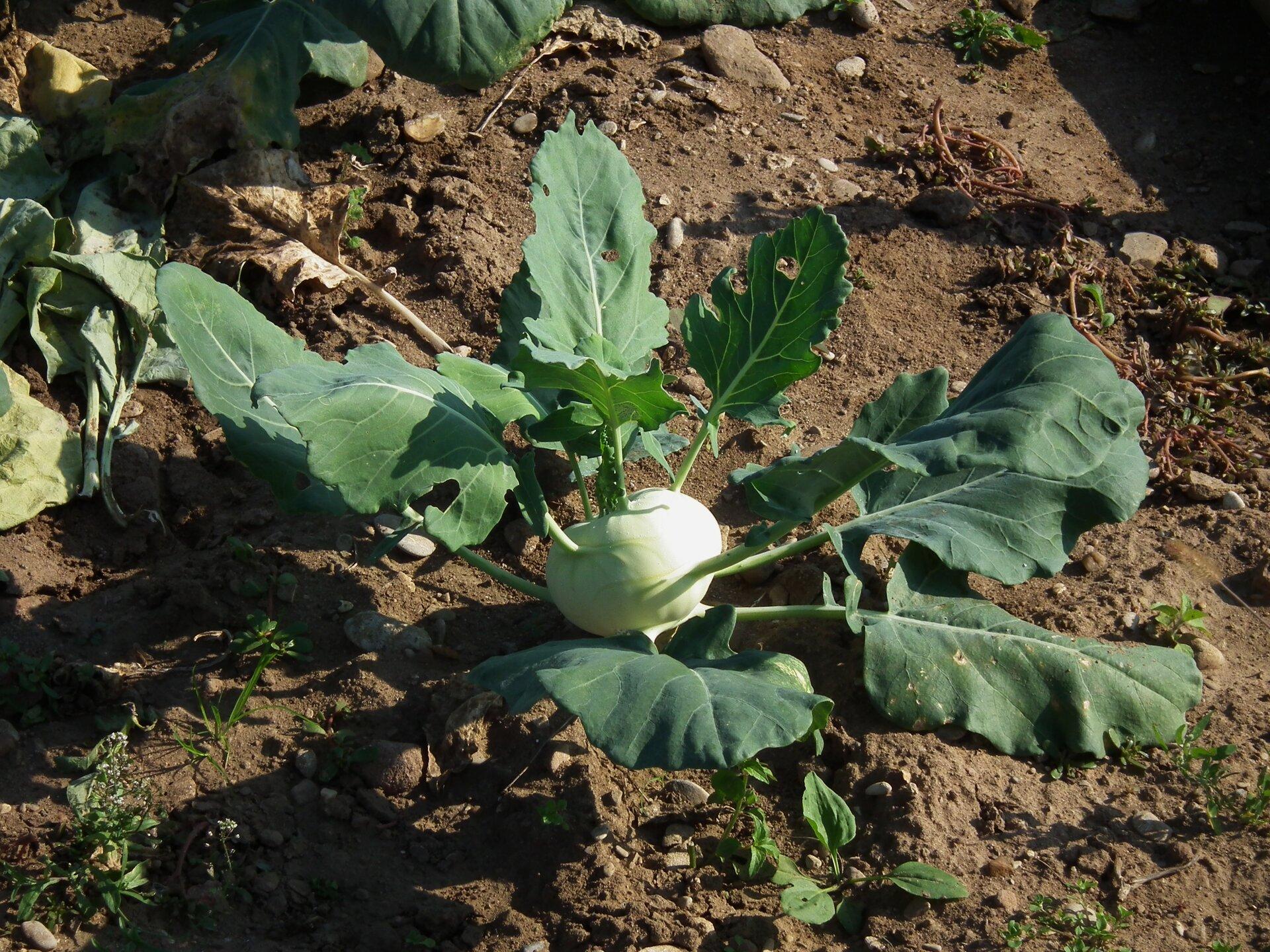 Fotografia przedstawia kalarepę wogrodzie. Jej jasna łodyga jest silnie skrócona, kulista. To bulwa nadziemna. Wyrastają zniej ciemnozielone liście.