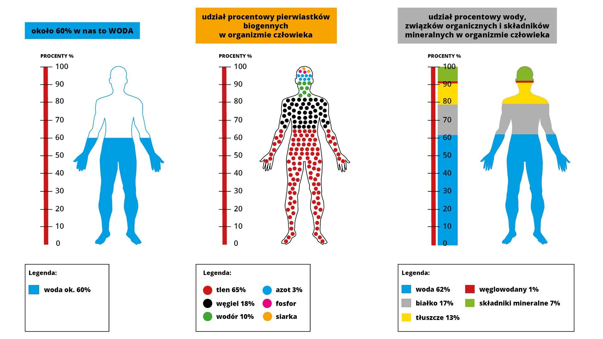 Na zamieszczonej grafice znajdują się zestawienia pokazujące procentowy udział wody, związków organicznych, pierwiastków iskładników mineralnych worganizmie człowieka. Na pierwszym od lewej elemencie grafiki znajduje się podziałka procentowa od zera do 100 procent, gdzie zero jest na dole, a100 na samej górze wskaźnika. Obok podziałki umieszczona jest sylwetka człowieka, która od stóp do pasa jest zaznaczona kolorem niebieskim. Kolor ten oznacza procentowy udział wody worganizmie, dokładnie jest to 60 procent. Druga grafika prezentuje procentowy udział pierwiastków biogennych worganizmie człowieka. Zlewej strony znajduje się oś zprocentami od zera do 100, po prawej zaś sylwetka człowieka zzaznaczonymi pierwiastkami, gdzie tlen stanowi 65%, węgiel 18%, wodór 10%, azot 3%, fosfor isiarka. Ostatni wskaźnik określa procentowy udział wody, związków organicznych iskładników mineralnych worganizmie człowieka. Lewa strona grafiki to pionowa podziałka od zera do 100, po prawej sylwetka człowieka zoznaczeniami odpowiednio kolorami udziału wody 62%, białka 17%, tłuszczu 13%, węglowodany 1% iskładniki mineralne 7%.