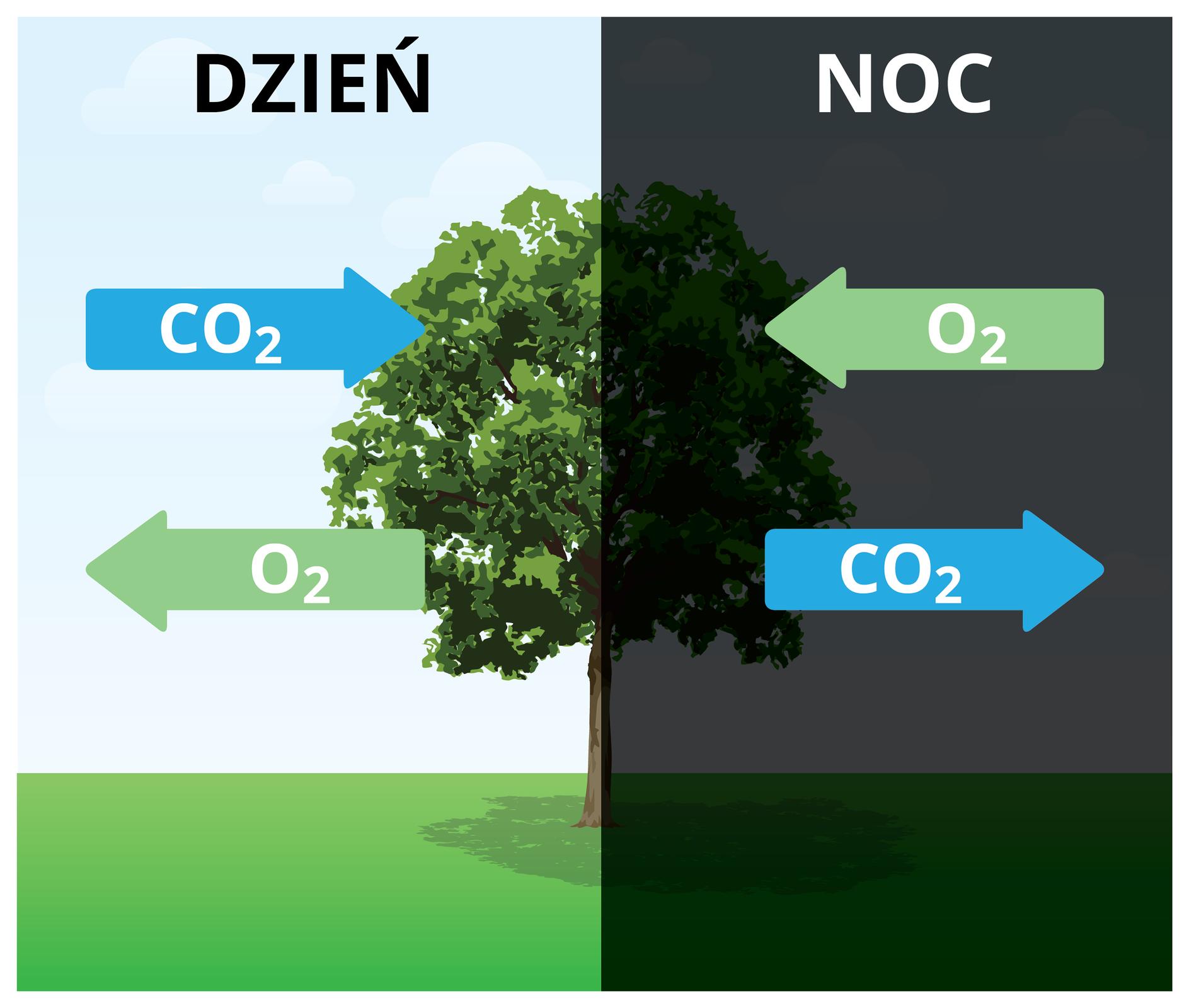"""Rysunek przedstawia drzewo na łące. Jest podzielony na dwie części. Lewa strona drzewa znajduje się na tle dziennego nieba, aprawa strona – na tle nocnego. Po lewej stronie na górze znajduje się strzałka skierowana wstronę drzewa ipodpisana """"CO2"""" Niżej jest strzałka wybiegająca od drzewa ipodpisana """"O2"""" Po prawej stronie na górze jest strzałka skierowana wstronę drzewa podpisana """"O2"""". Pod nią jest strzałka wybiegająca od drzewa podpisana """"CO2""""."""