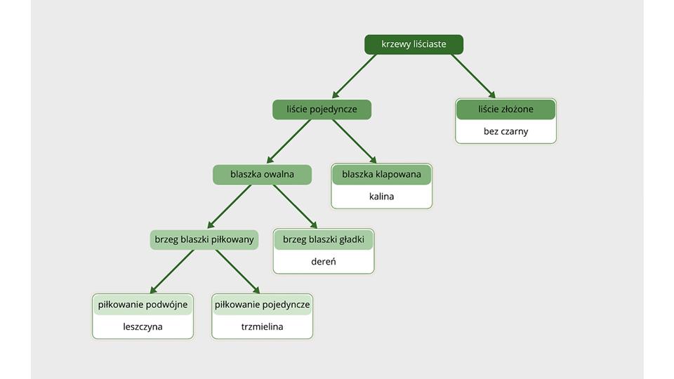 Aplikacja przedstawia aktywny klucz do rozpoznawania krzewów ikrzewinek. Ma on formę schematu blokowego zopisami istrzałkami. Prostokąty zcechami roślin są zielone, najciemniejszy ugóry. Części znazwami roślin są na białym tle.
