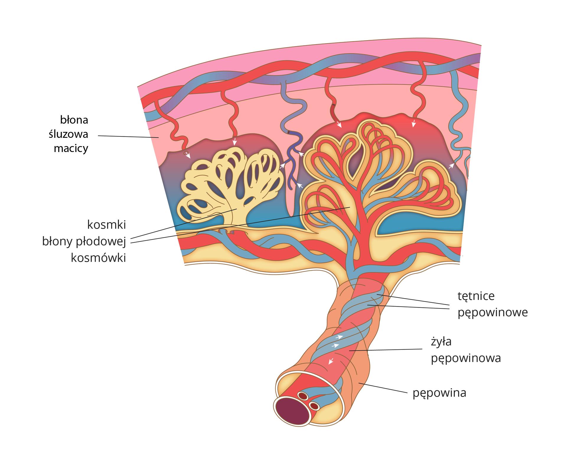 Ilustracja przedstawia budowę łożyska. Kolorem czerwonym zaznaczono żyły, kolorem niebieskim tętnice. Na górze ilustracji żyła itętnica matki na różowym tle błony śluzowej macicy. Poniżej żółte, pętelkowe wypustki – kosmki błony płodowej kosmówki. Wewnątrz nich znajdują się żyły itętnice pępowiny. Dzięki nim zachodzi wymiana pomiędzy krwią matki idziecka. Czerwona, gruba żyła pępowinowa iowinięte wokół niej niebieskie tętnice pępowinowe łączą łożysko iciało dziecka.