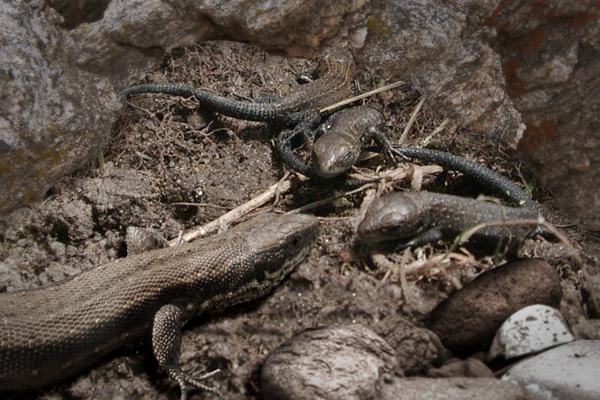 Fotografia wkolorze szarobrązowym przedstawia ukosem przednia połowę ciała jaszczurki żyworodnej. Przed jej pyskiem są trzy młode: dwa zwrócone do niej głowami, jedno odwrócone tyłem. Umłodych ciemno szare, segmentowane ogony. Gady znajdują się wgnieździe zresztek roślinnych, na ziemi między skałami.