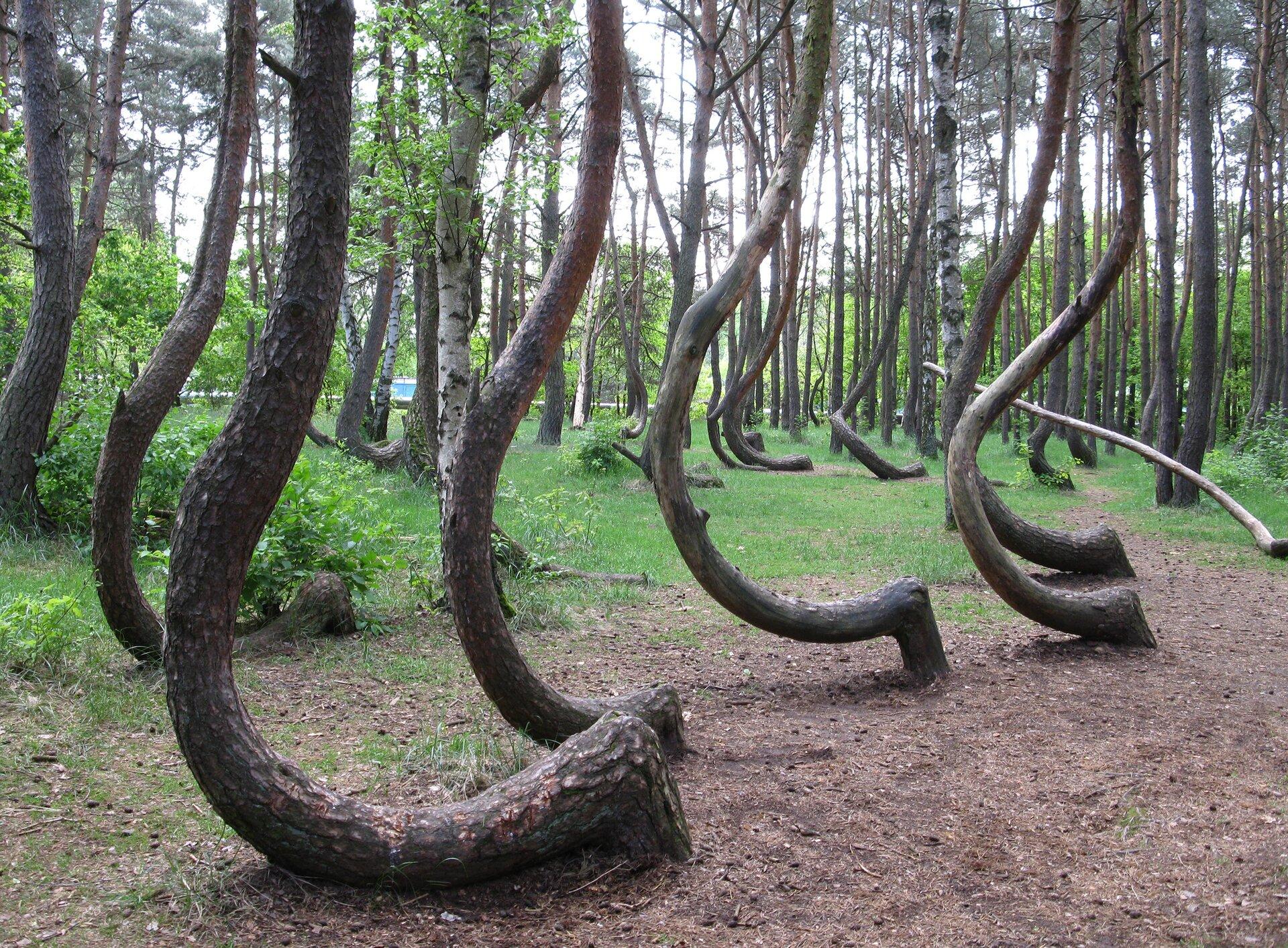 Krzywy Las wNowym Czarnowie Krzywy Las wNowym Czarnowie Źródło: Rzuwig, licencja: CC BY-SA 3.0.