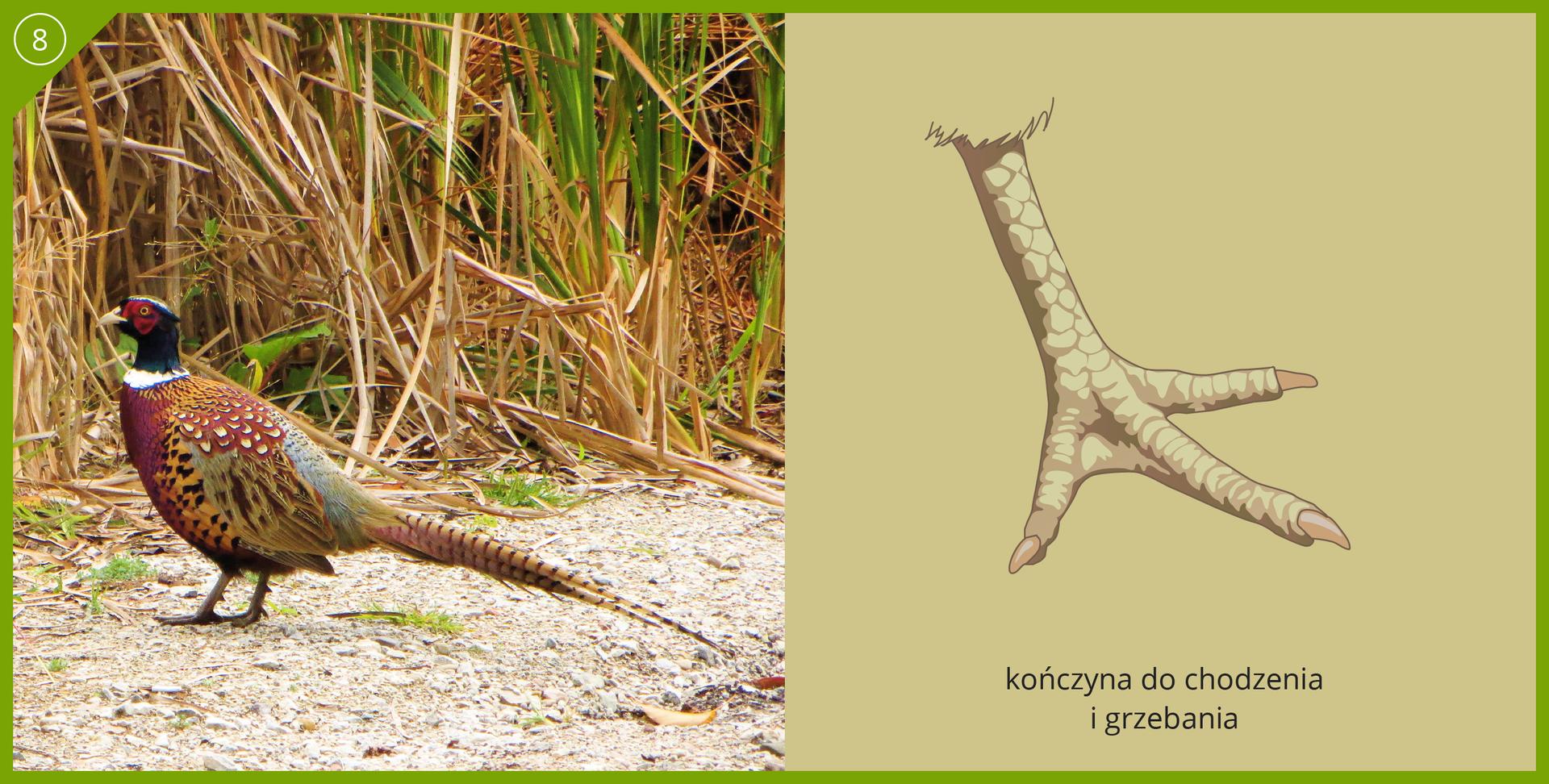 Fotografia przedstawia barwnego bażanta na ziemi wśród traw. Ptak stoi bokiem zczarną głową wlewo, długi ogon wbrązowe paski wprawo. Dziób biały, mocny, krótki. Przy oku czerwona skóra. Na szyi biała kryza. Tułów różowo – beżowo – szary, cętkowany. Ilustracja przedstawia przystosowanie kończyny do chodzenia igrzebania. Biało plamista noga jest krótka, gruba. Palce połączone unasady niewielka błoną, trzy do przodu, czwarty zredukowany. Mocne, krótkie pazury.