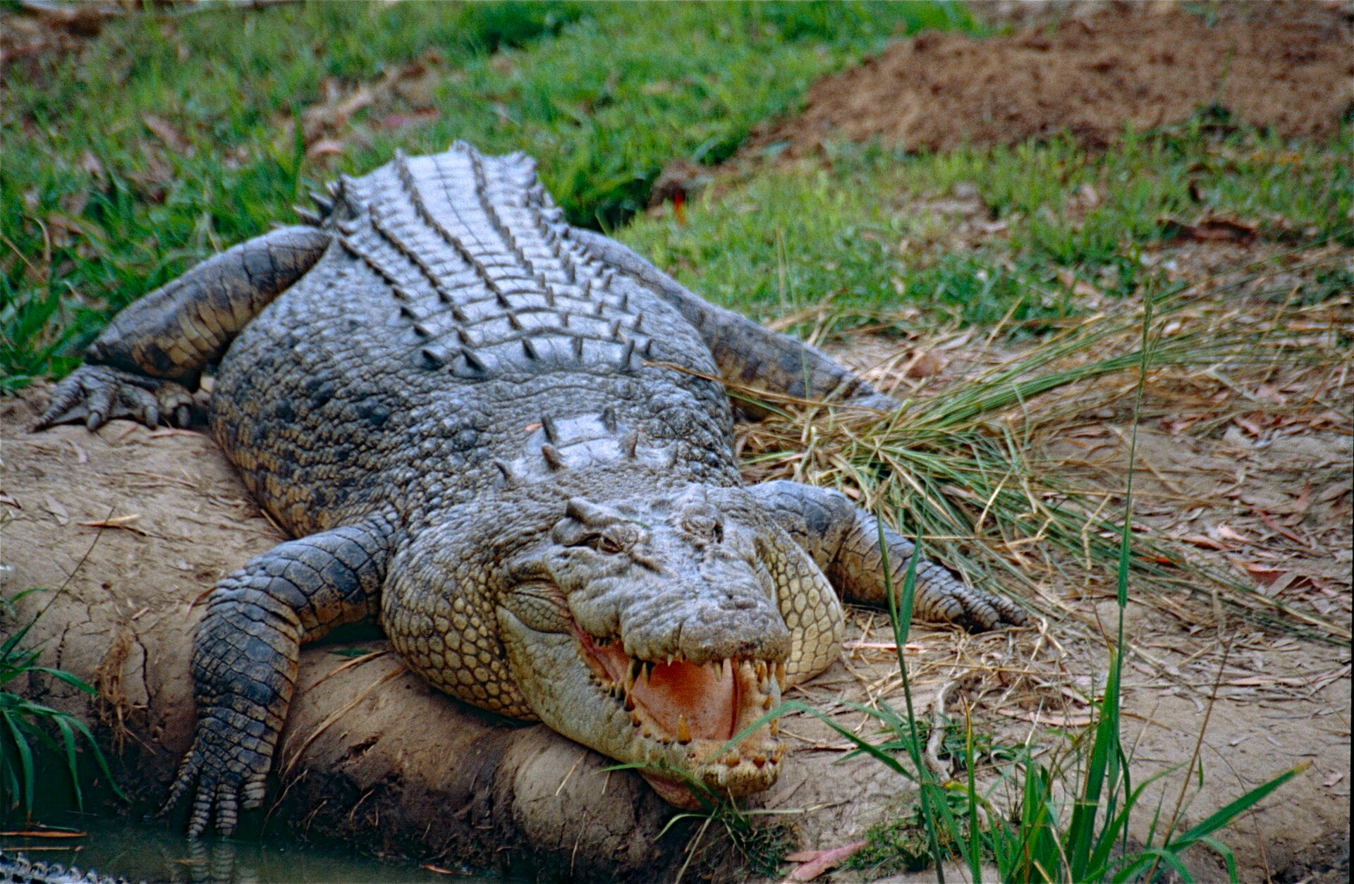 Fotografia przedstawia zielonego krokodyla, leżącego na trawie. Ma uniesioną górną szczękę. Na brzegach różowej paszczy liczne zęby. Ciało pokryte tarczkami, wypukłymi na grzbiecie wkilku rzędach, na ogonie jeden rząd ostrych wyrostków.