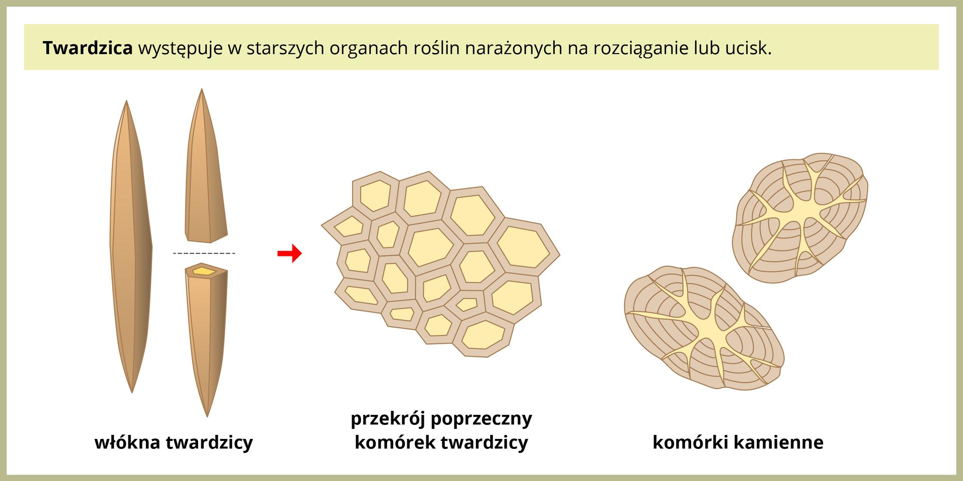 Ilustracja przedstawia po lewej dwa beżowe, wrzecionowate włókna twardzicy. Jedno jest przecięte iobok przedstawiono wygląd tej tkanki na przekroju: ściśle ułożone, wielokątne komórki ogrubych ścianach. Po prawej przedstawiono dwie owalne komórki kamienne. Mają one bardzo grube ściany, składające się zkilku warstw.
