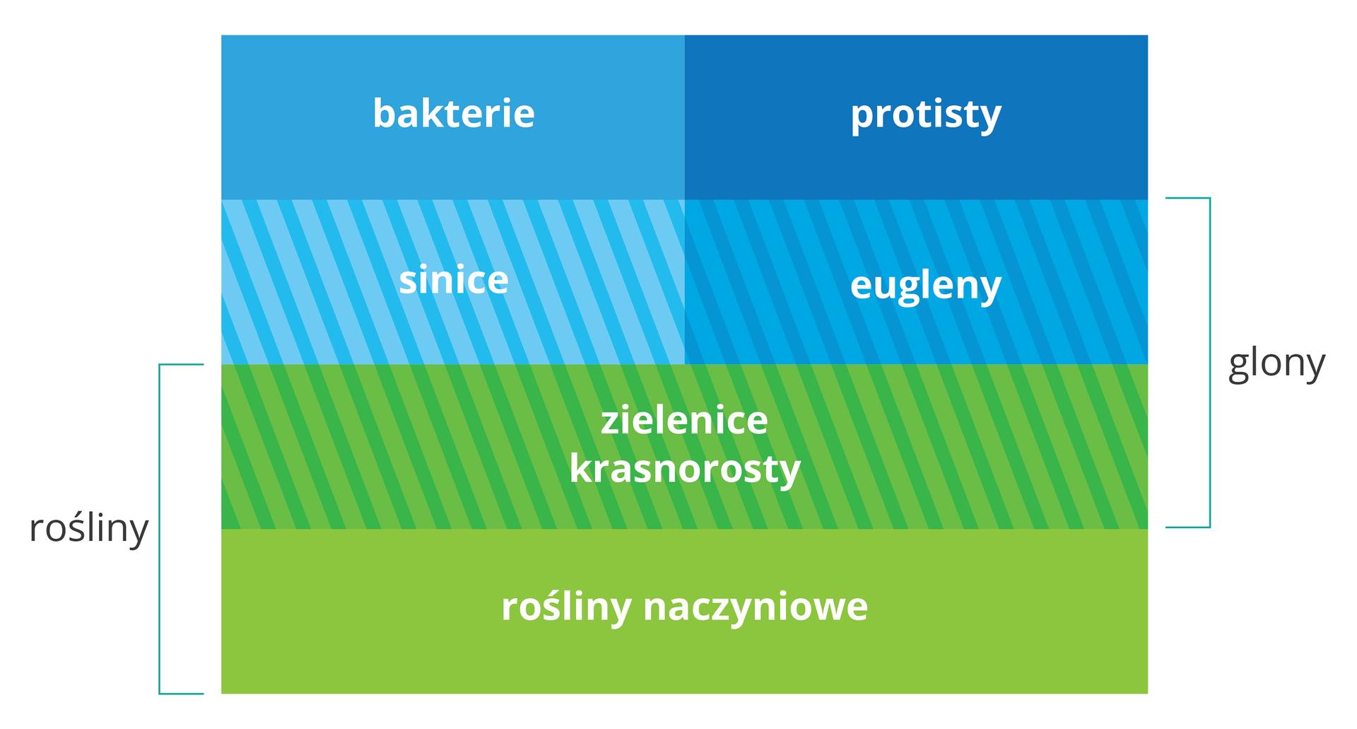 Ilustracja przedstawia schematycznie podział organizmów takich jak rośliny, zielenice, glony, protisty, bakterie.