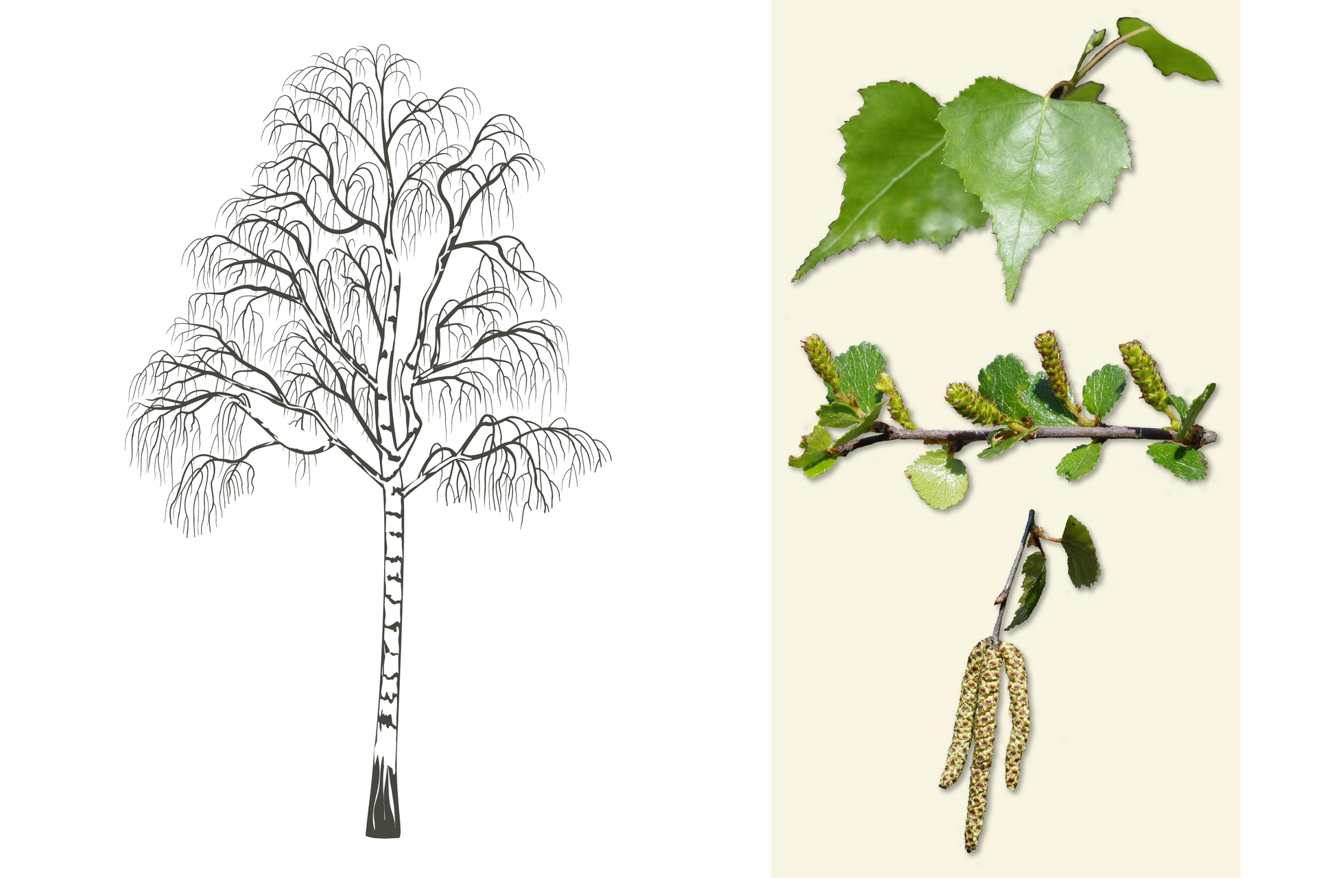 Ilustracja przedstawia biało szarą sylwetkę brzozy. Po prawej od góry: gałązka zzielonymi, ostro zakończonymi liśćmi. Wśrodku zbliżenie pięciu walcowatych owocostanów na gałązce zliśćmi. Poniżej gałązka zdrobnymi liśćmi ibrązowo białymi, drobniutkimi kwiatami, zebranymi wzwisające kwiatostany.