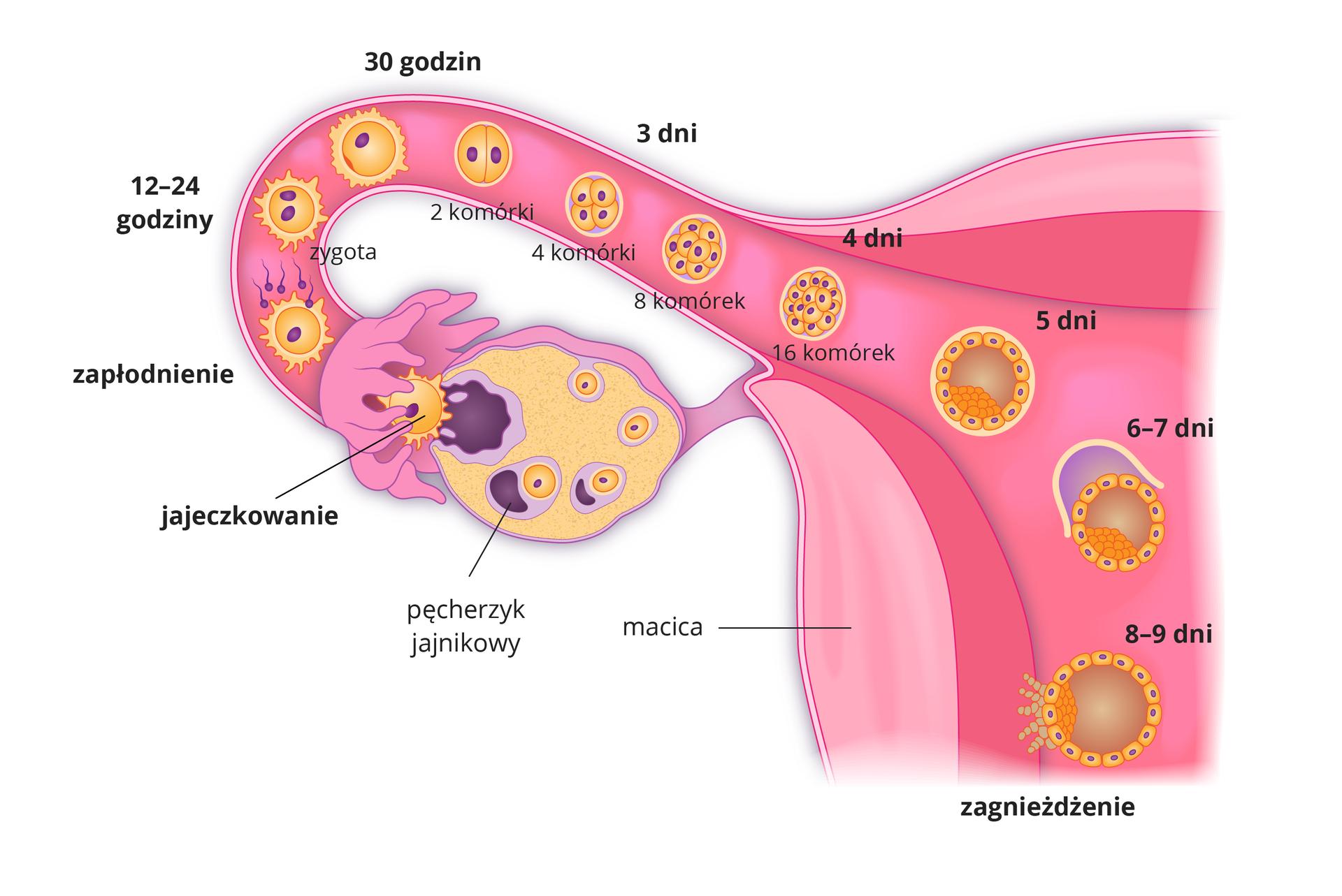 Ilustracja przedstawia etapy zagnieżdżania się zarodka wmacicy.Duży, różowy trójkątny kształt to macica. Po jej lewej na dole żółty jajnik. Wnim dojrzewają komórki jajowe. Nieregularny kształt to pęcherzyk jajnikowy, który pęka iuwalnia żółtą komórkę jajową (jajeczkowanie). Jajo wpada do jajowodu, przedstawionego jako różowa tuba zwypustkami. Wjajowodzie do jaja docierają fioletowe plemniki inastępuje zapłodnienie. Po dobie powstaje zygota, która po trzydziestu godzinach zaczyna się intensywnie dzielić, tworząc wielokomórkowy zarodek. Wtym czasie trwa pięciodniowa wędrówka zarodka wkierunku macicy. Zarodek opuszczający jajowód ma postać pęcherzyka, złożonego zdużej liczby komórek. Około siódmego dnia życia zagnieżdża się wgrubej ciemnoróżowej błonie śluzowej macicy.