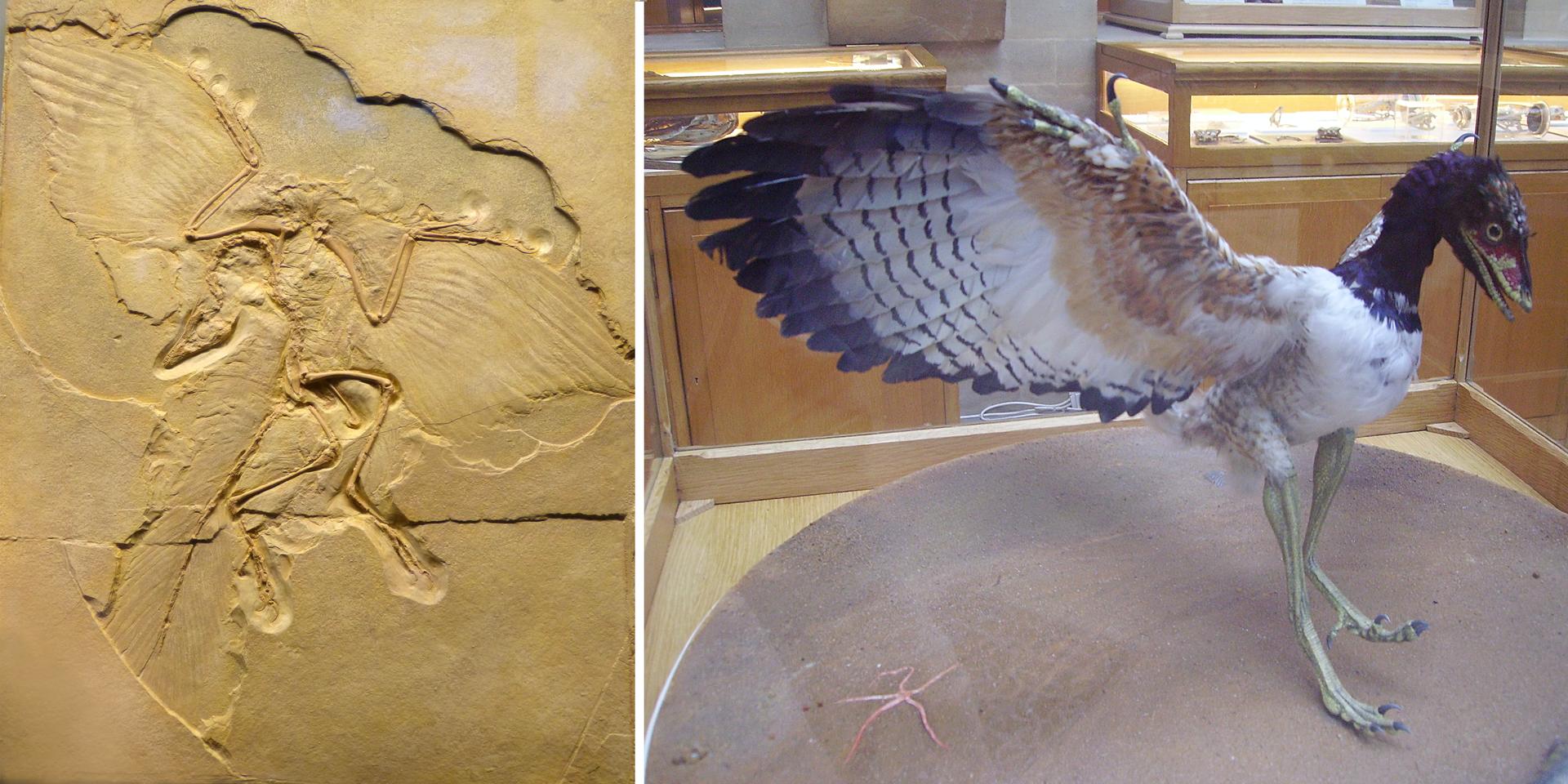 Fotografia przedstawiająca skamielinę Archaeopteryxa oraz wypchany eksponat Archaeopteryxa.