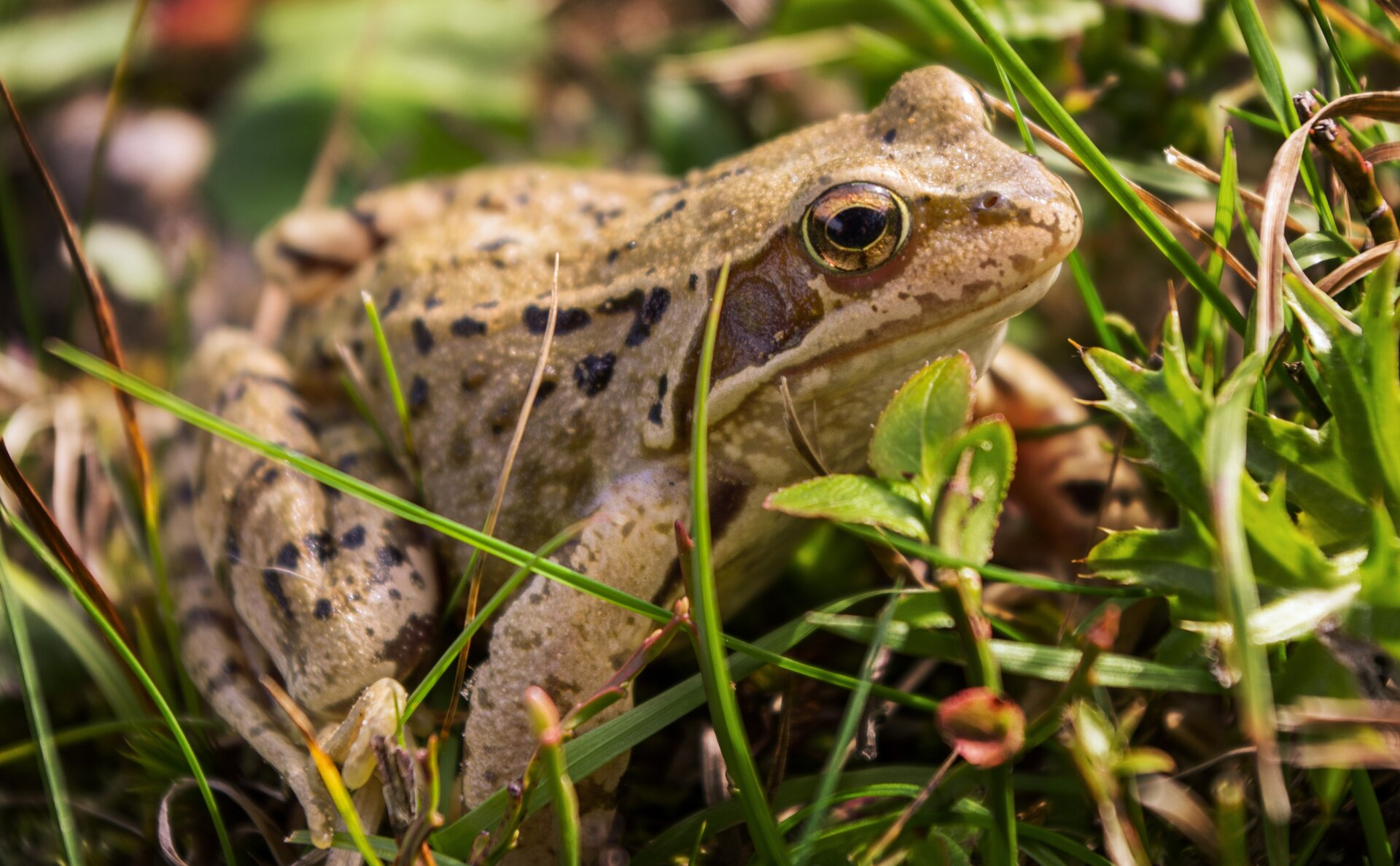 Zdjęcie żaby wtrawie. Zwierzę ma krótkie przednie kończyny idługie tylne, podwinięte pod ciało. Cialo koloru jasnobrązowego.