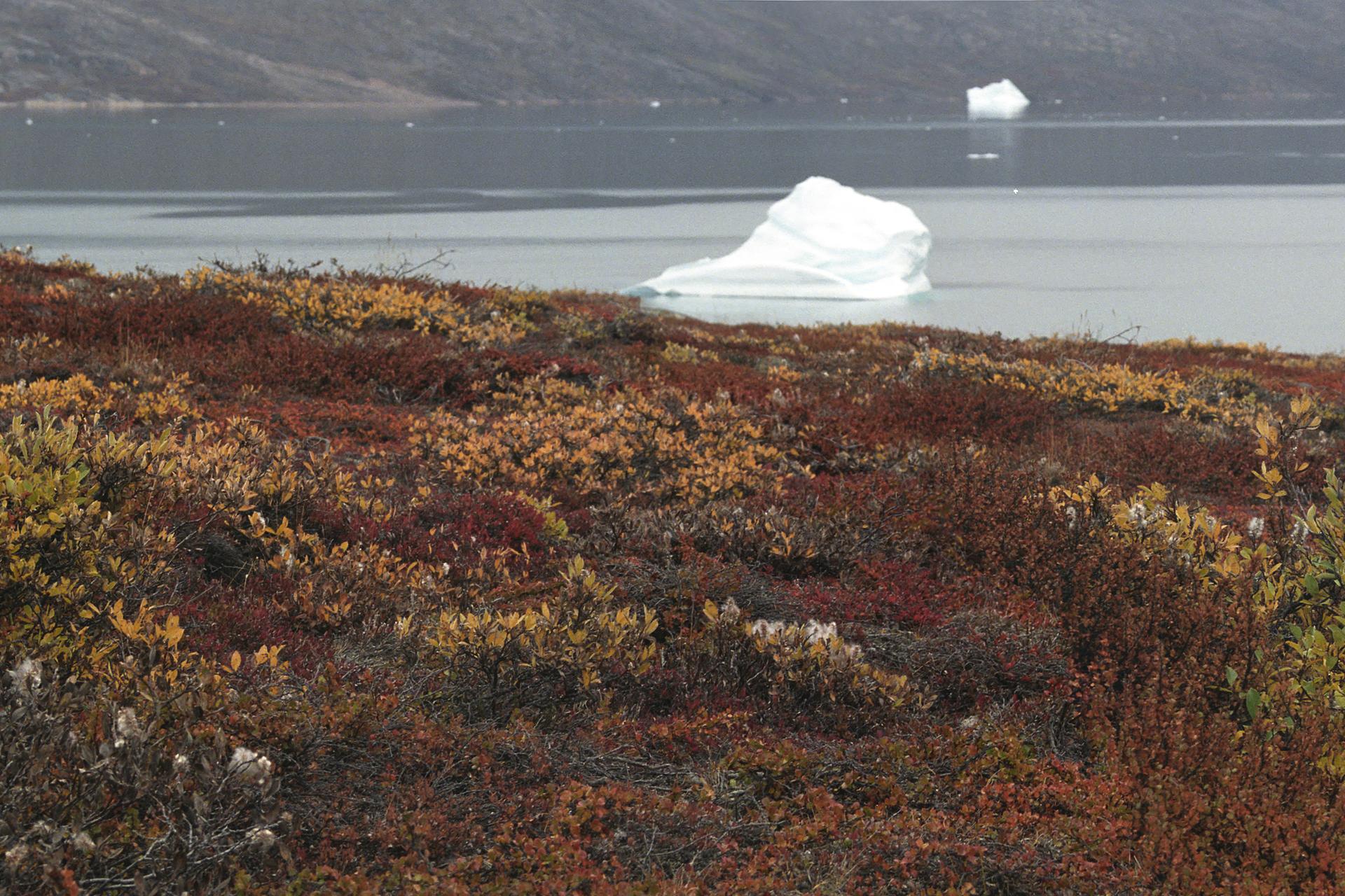 Fotografia przedstawia wdolnej części rude, brązowe iżółte niskie krzewinki na skałach. Wgórnej części znajduje się zbiornik wodny zpływającymi białymi kawałkami lodu.