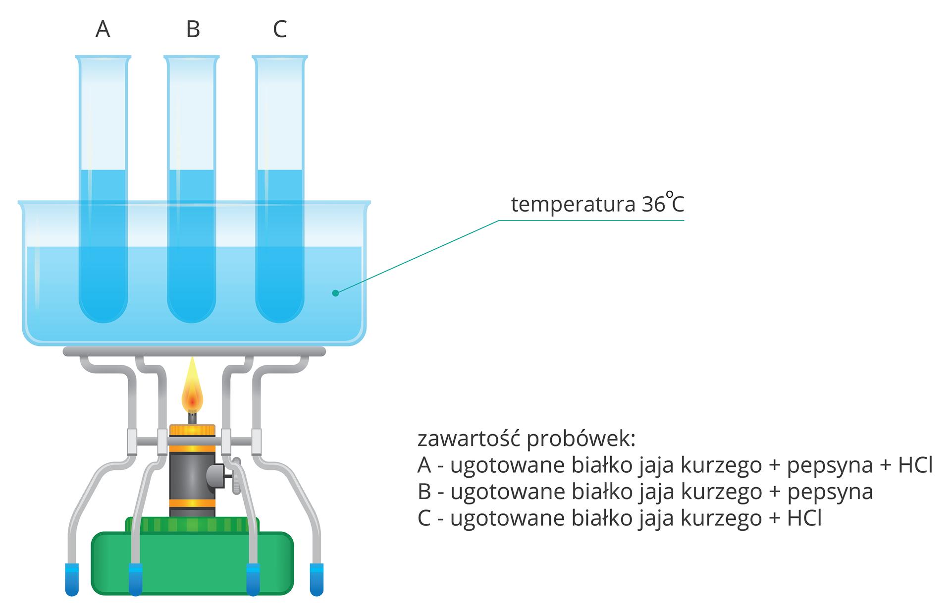 Ilustracja przedstawia zielono – szary palnik zżółtym płomieniem. Wokół znajdują się szare nóżki zbłękitnymi końcówkami. Na nich stoi szklane naczynie zwodą otemperaturze trzydziestu sześciu stopni Celsjusza. Wwodzie zanurzone są trzy probówki zszafirową zawartością, oznaczone literami A, BiC. zprawej opisano zawartość probówek: A– ugotowane białko jaja kurzego plus pepsyna plus kwas solny. Wprobówce Bnie ma kwasu solnego, awprobówce Cpepsyny.