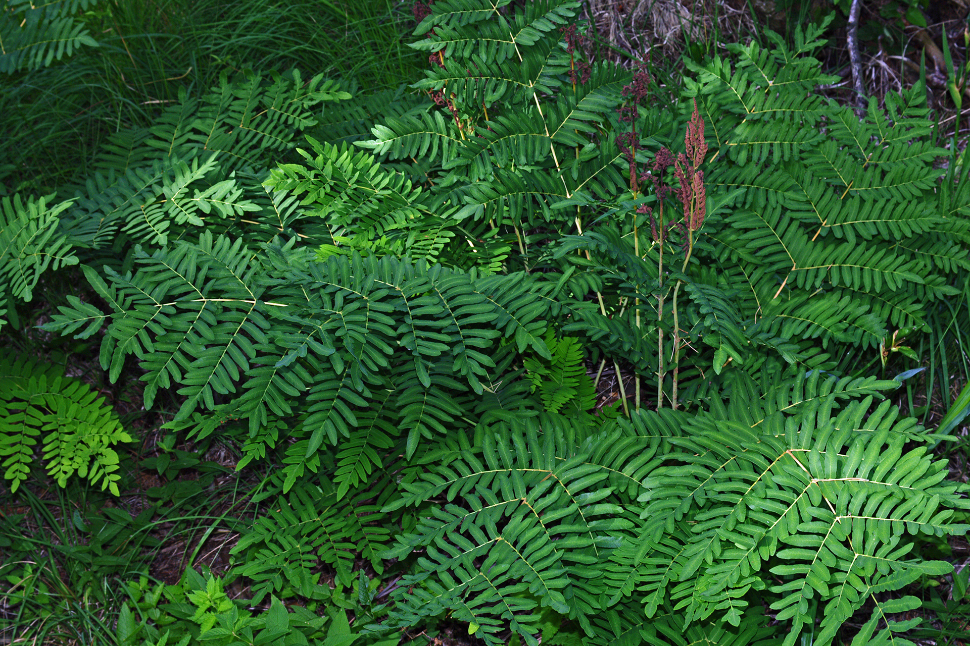 Fotografia przedstawia rozłożystą paproć odużych, pierzastych liściach. Między zielonymi liśćmi po prawej wznoszą się brązowe, wąskie liście . Pod liśćmi paproci wbrunatnej ściółce rosną kępki trawy.