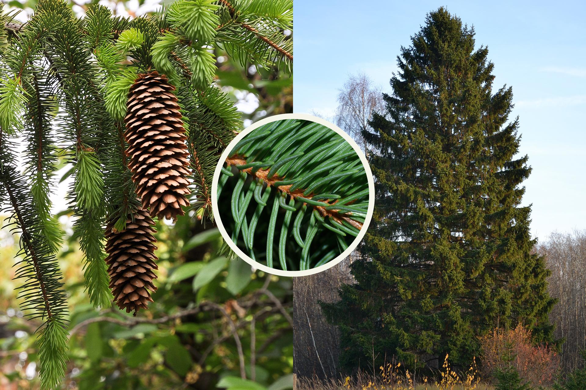 Fotografia zlewej przedstawia kilka gałęzi świerka pospolitego zpojedynczymi igłami. Zwisają zniej dwie długie, brązowe szyszki. Po prawej fotografia przedstawia pojedyncze drzewo na tle innych drzew. Kółko wcentrum przedstawia zbliżenie pędu świerka: brązowa gałązka izielone liście.