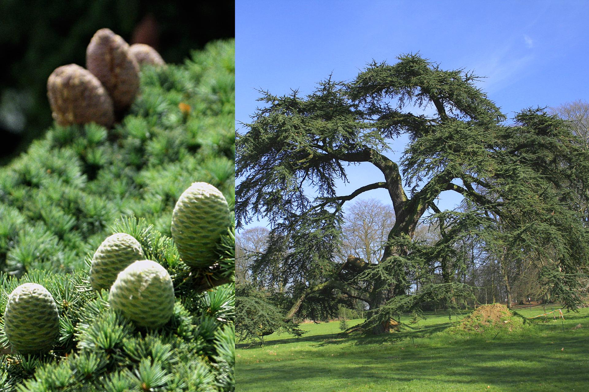 Fotografia zlewej przedstawia gałęzie cedru libańskiego zkrótkimi jasno zielonymi igłami wpęczkach. Między gęstymi liśćmi stoją beczułkowate szyszki: zprzodu szaro zielone, ztyłu brązowe. Fotografia zprawej przedstawia pojedyncze, rozłożyste drzewo na trawniku. Wtle inne drzewa.