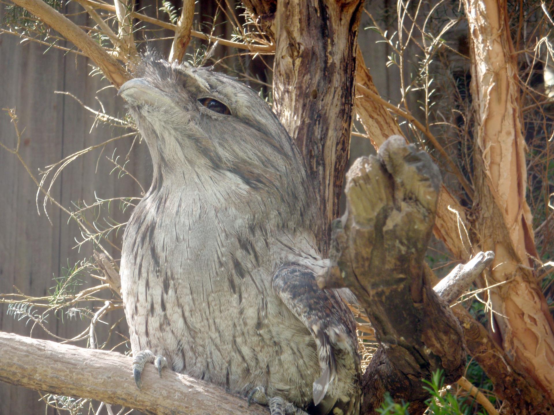 Fotografia przedstawia ptaka siedzącego na pniu drzewa. Kaształt ptaka ikolor upierzenia sprawiają , że wydaje się on częścią drzewa.