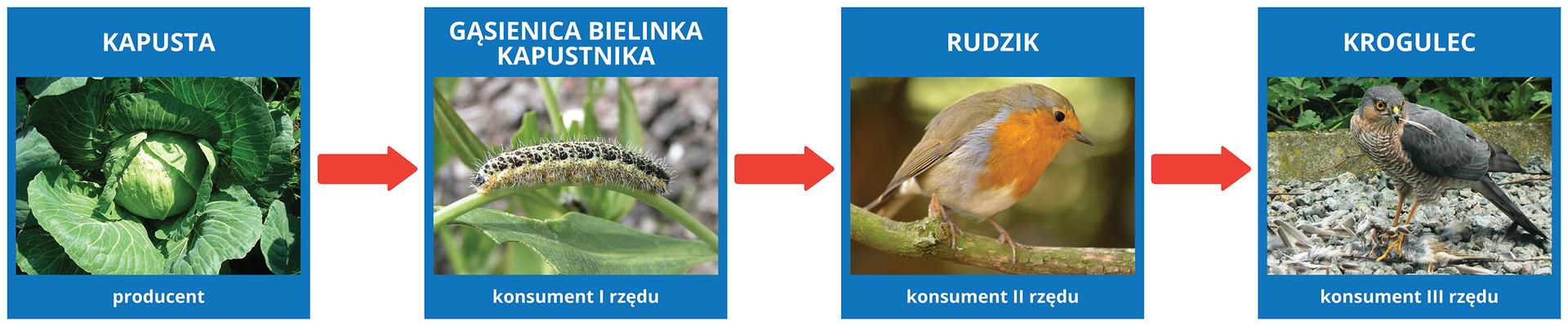 liść kapusty - gąsienica bielinka kapustnika - rudzik - krogulec.