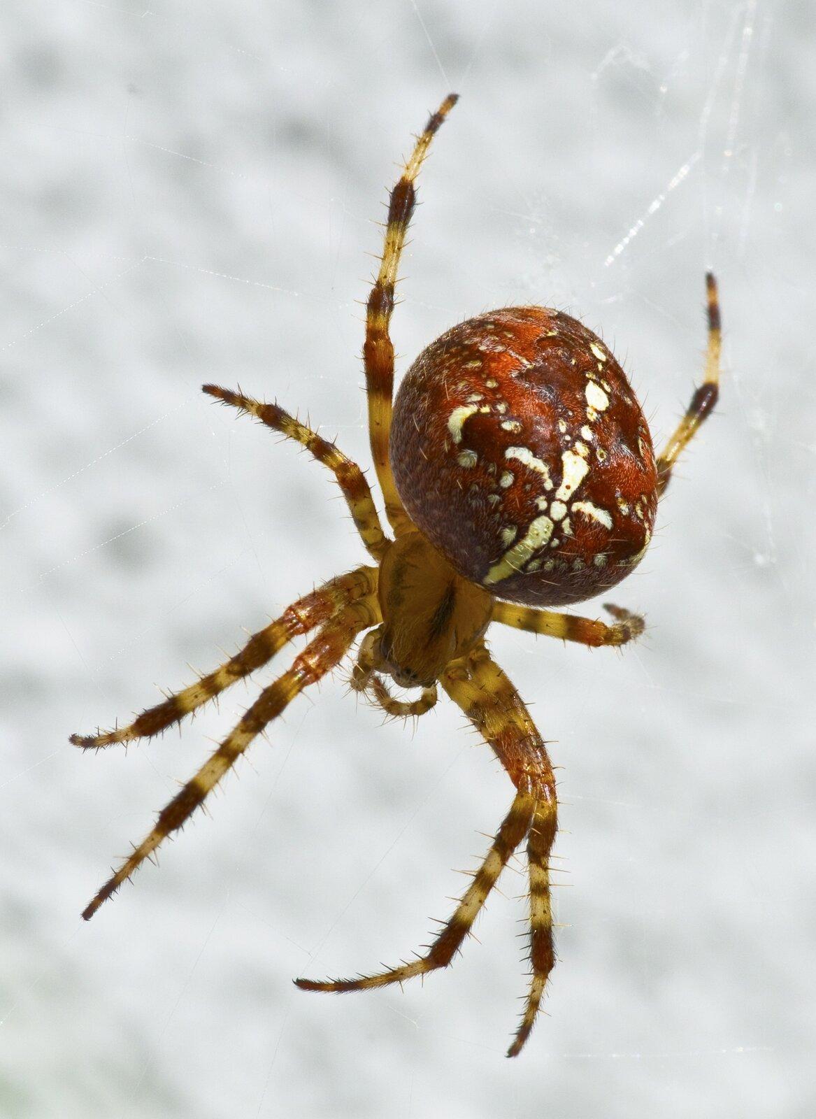 Fotografia pająka. Zprzedniej części ciała zwierzęcia wyrastają cztery pary długich członowanych odnóży. Tylna część jest większa od przedniej. Na grzbiecie widać wzór wkształcie białego krzyża.