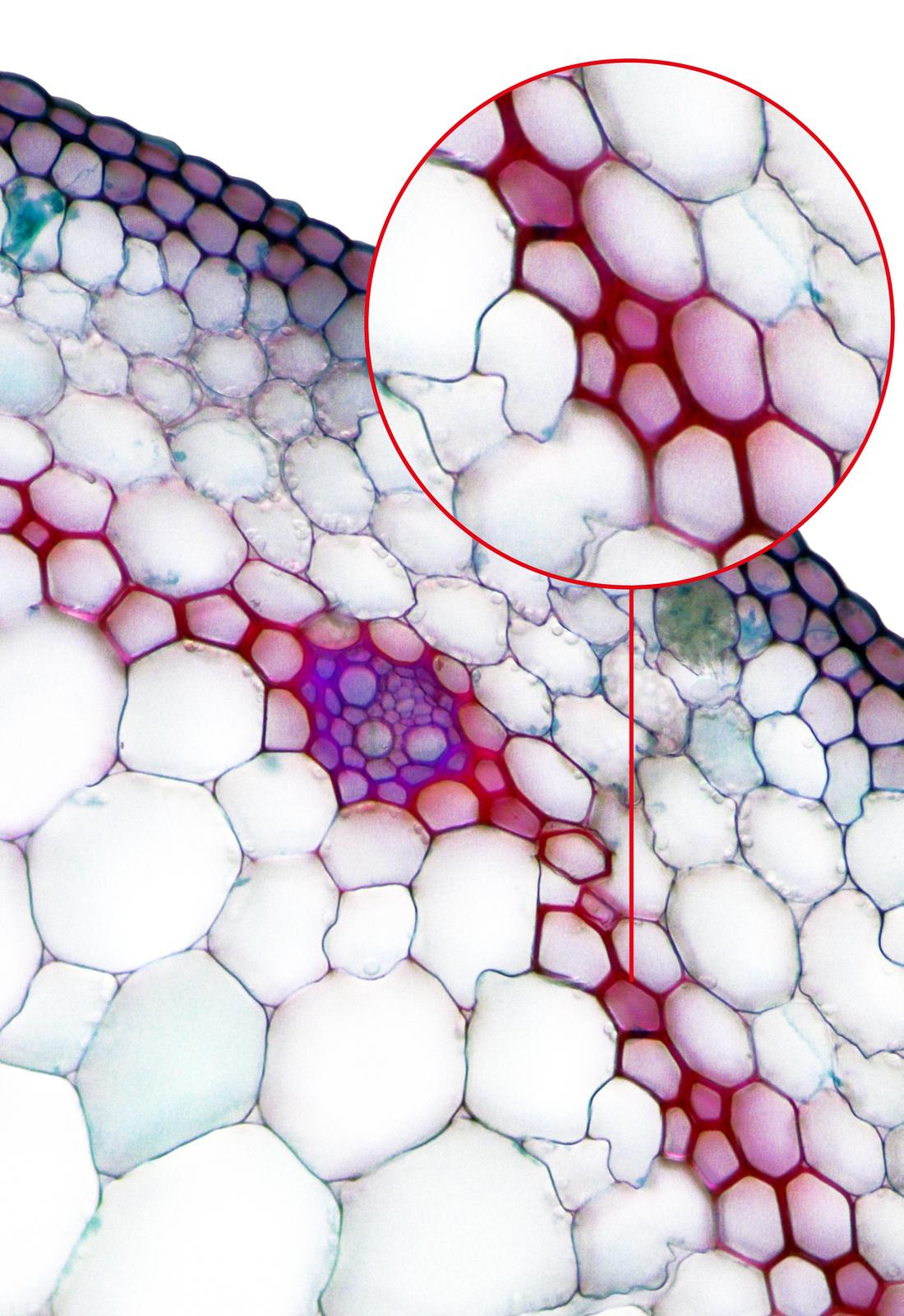 Ilustracja przedstawia fotografię mikroskopową komórek twardzicy wliściu draceny. Są one wybarwione na czerwono. Ugóry wprzybliżeniu ukazano fragment zkomórkami twardzicy ozgrubiałych ścianach.