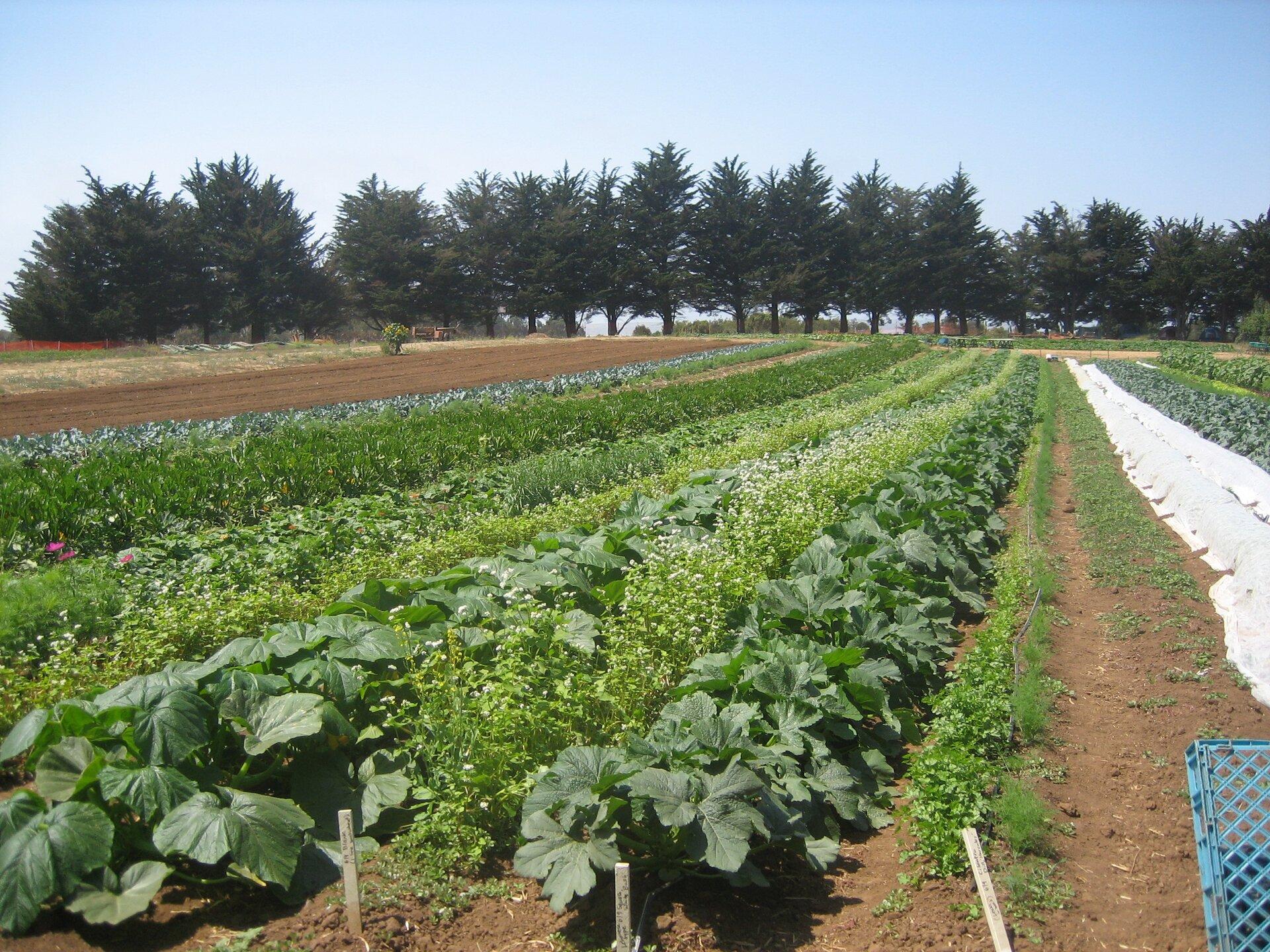 Na zdjęciu równe rzędy grządek na polu uprawnym. Wkażdym rzędzie rośnie inna roślina, są też wróżnym stadium wzrostu. Dwa rzędy przykryte włókniną.
