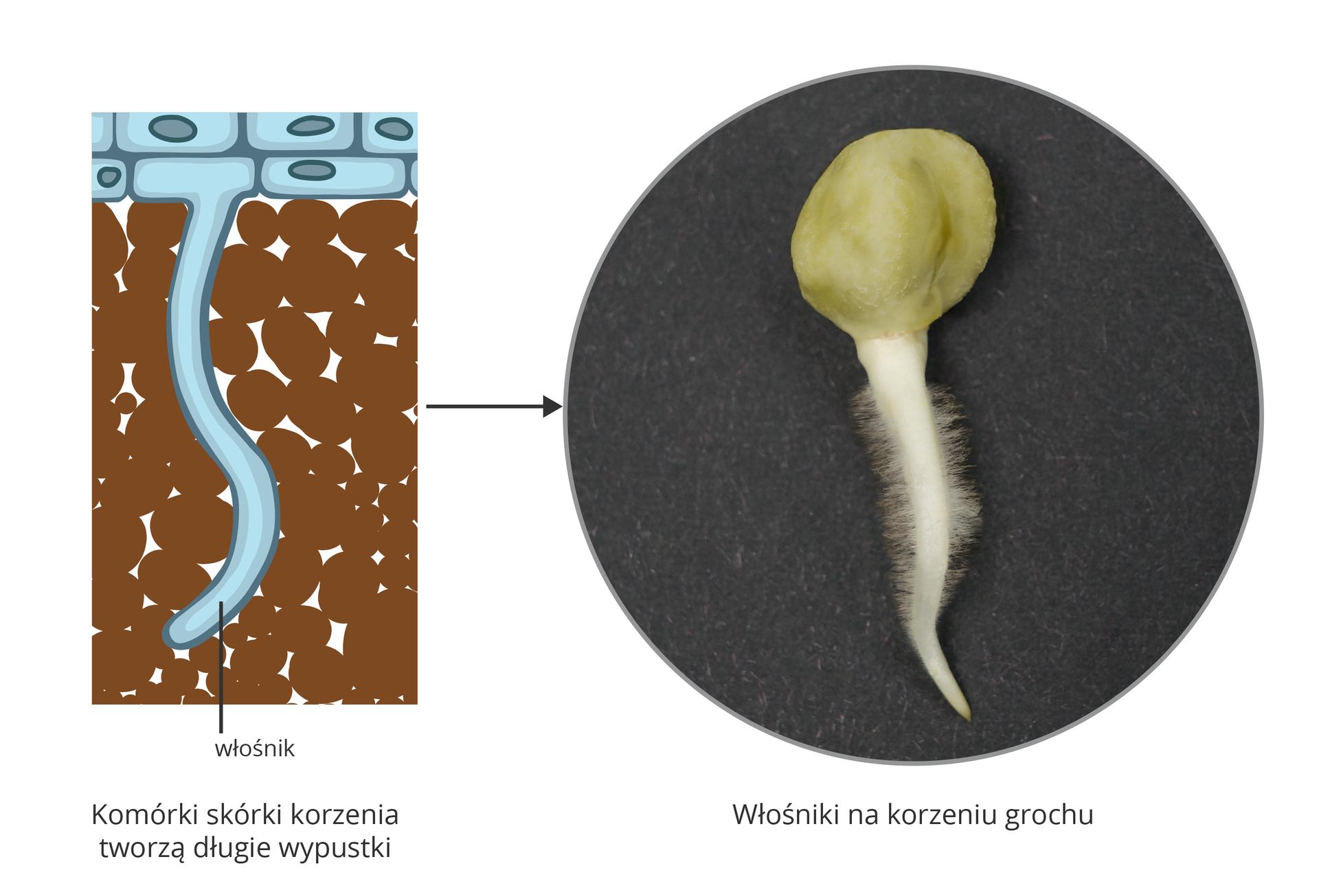 Ilustracja przedstawia po lewej schematycznie przekrój przez wydłużoną komórkę – włośnik, oznaczony kolorem błękitnym. Wciska się on pomiędzy brązowe grudki gleby. Po prawej fotografia mikroskopowa białego korzonka zlicznymi włośnikami.