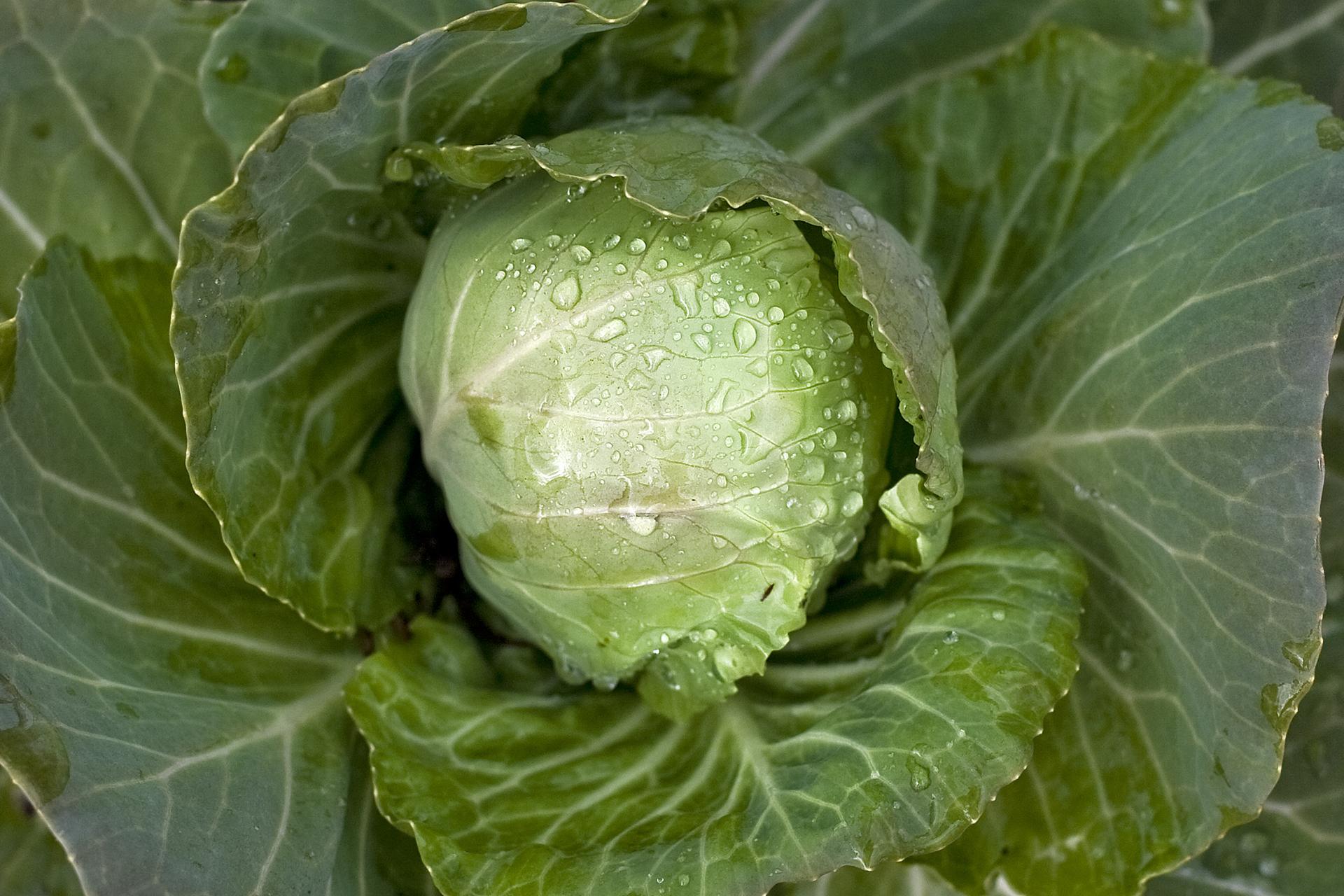 Fotografia przedstawia kapustę. Jasno zielone liście są zwinięte wgłówkę, ciemnozielona rozpościerają się na boki. Kapusta jest rośliną dwuletnią.