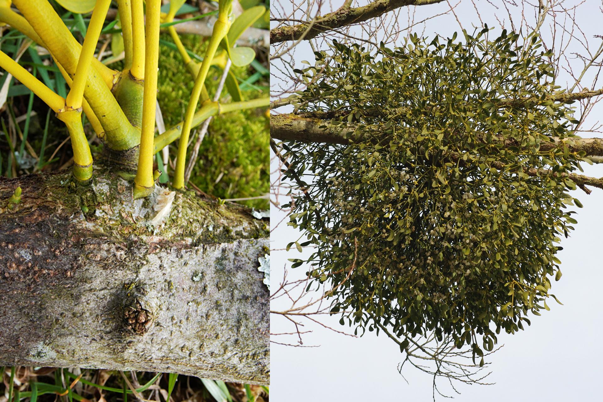 Ilustracja składa się zdwóch fotografii. Lewa przedstawia zbliżenie gałęzi drzewa, spod kory wyrastają żółto zielone pędy jemioły. Prawa fotografia przedstawia dużą kulistą jemiołę, rosnącą gałęzi drzewa.